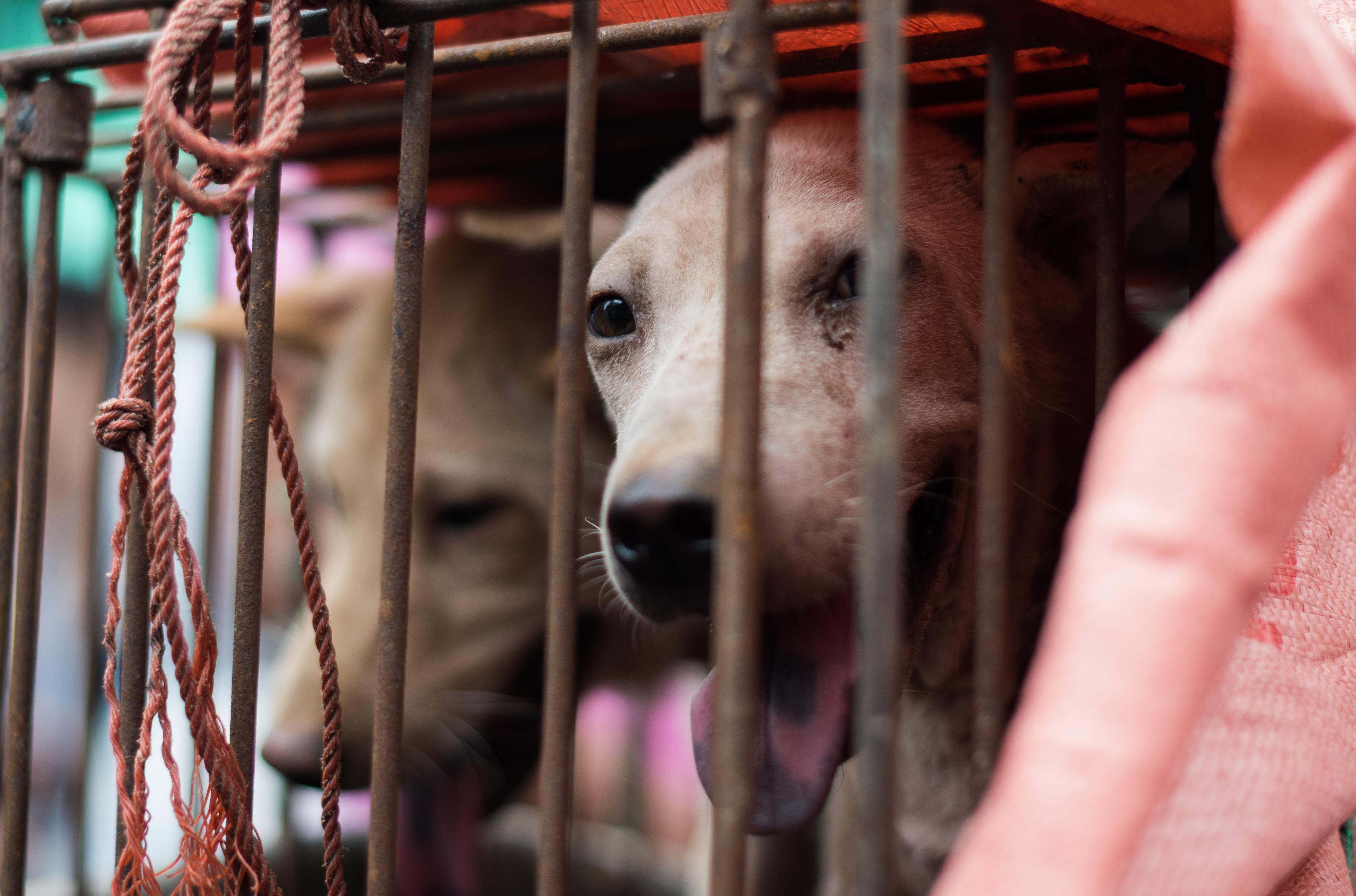 Kanada befogadta a kínai kutyahús-fesztiválról kimenekített kutyákat