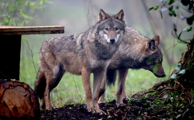 Elvitte a farkas egy belga család kenguruját