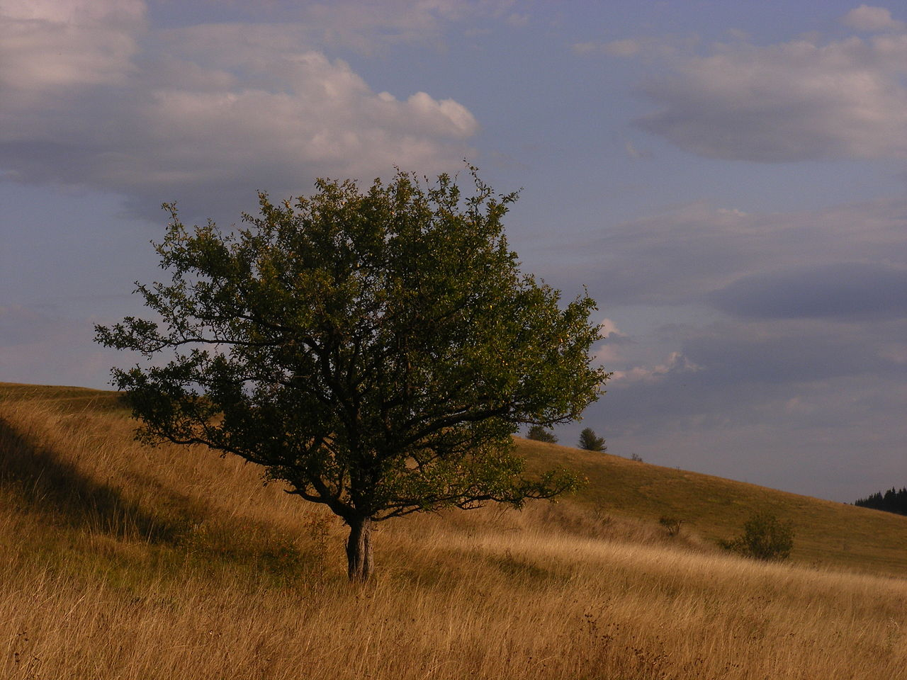 2017 fája a vadalmafa