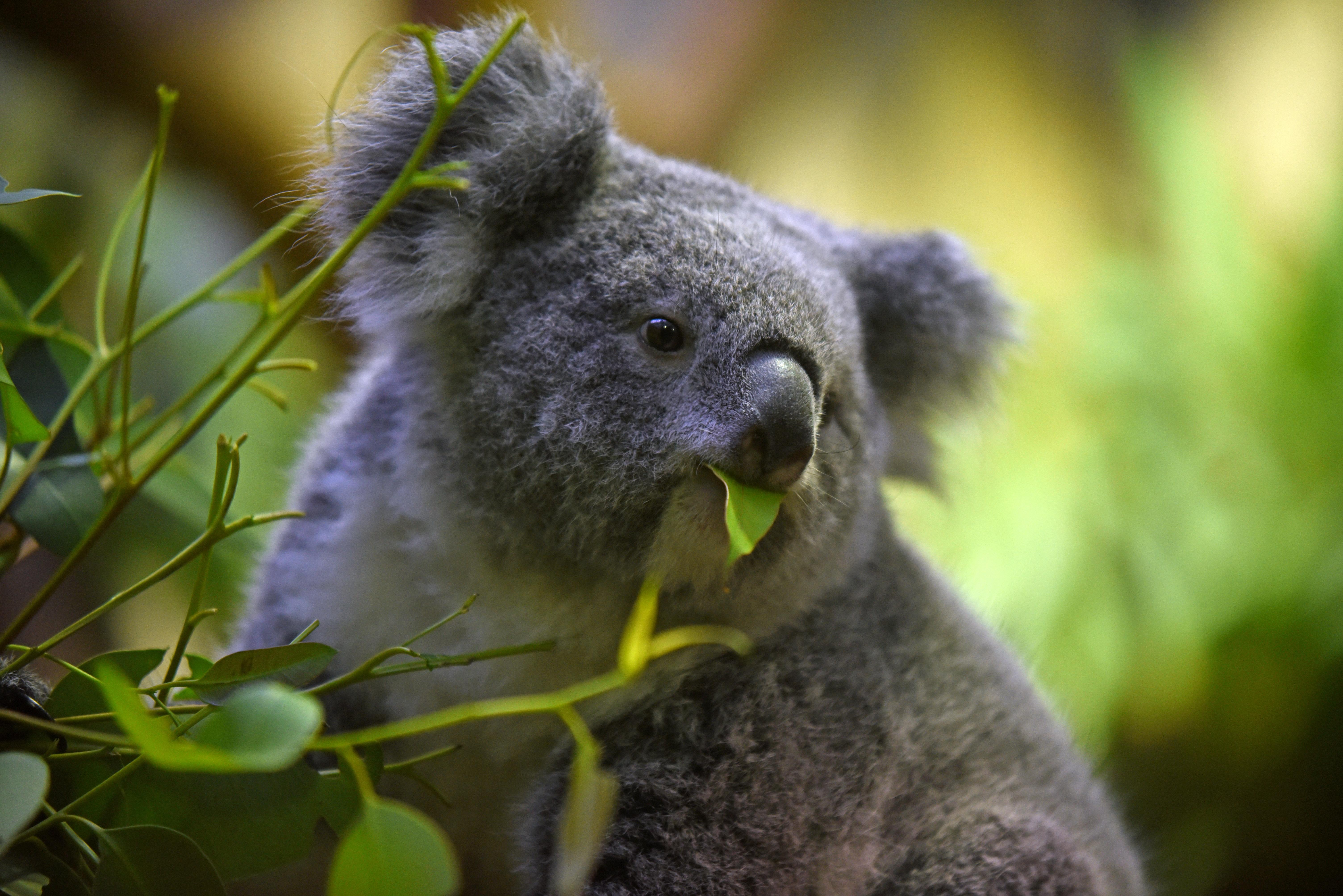 Koalákat hoztak Európába, hogy legyen utánpótlás, ha esetleg Ausztráliában valami bajuk történne