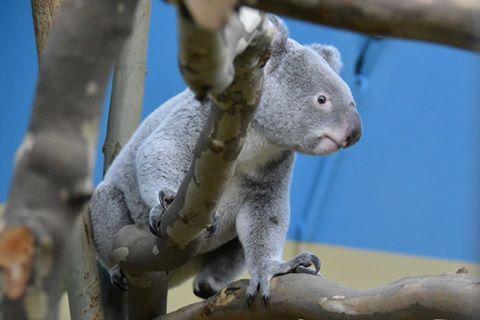 Elpusztult Vobara, a fővárosi állatkert egyik koalája