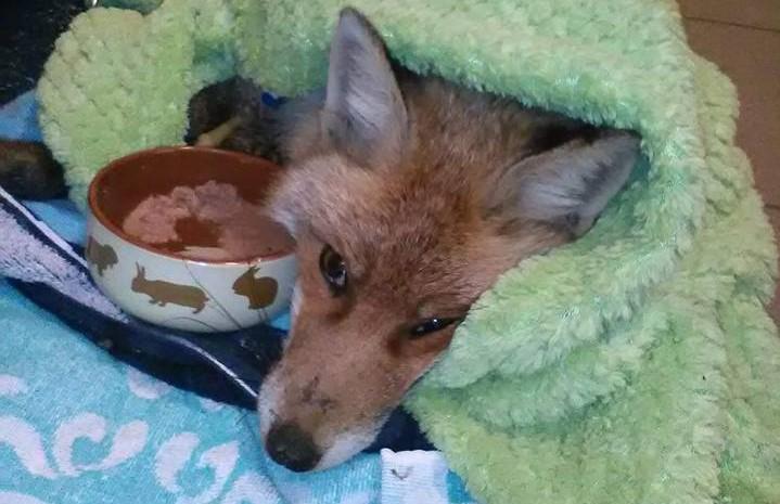 Lábadozik Fagyi, a népszigeti stéghez fagyott róka