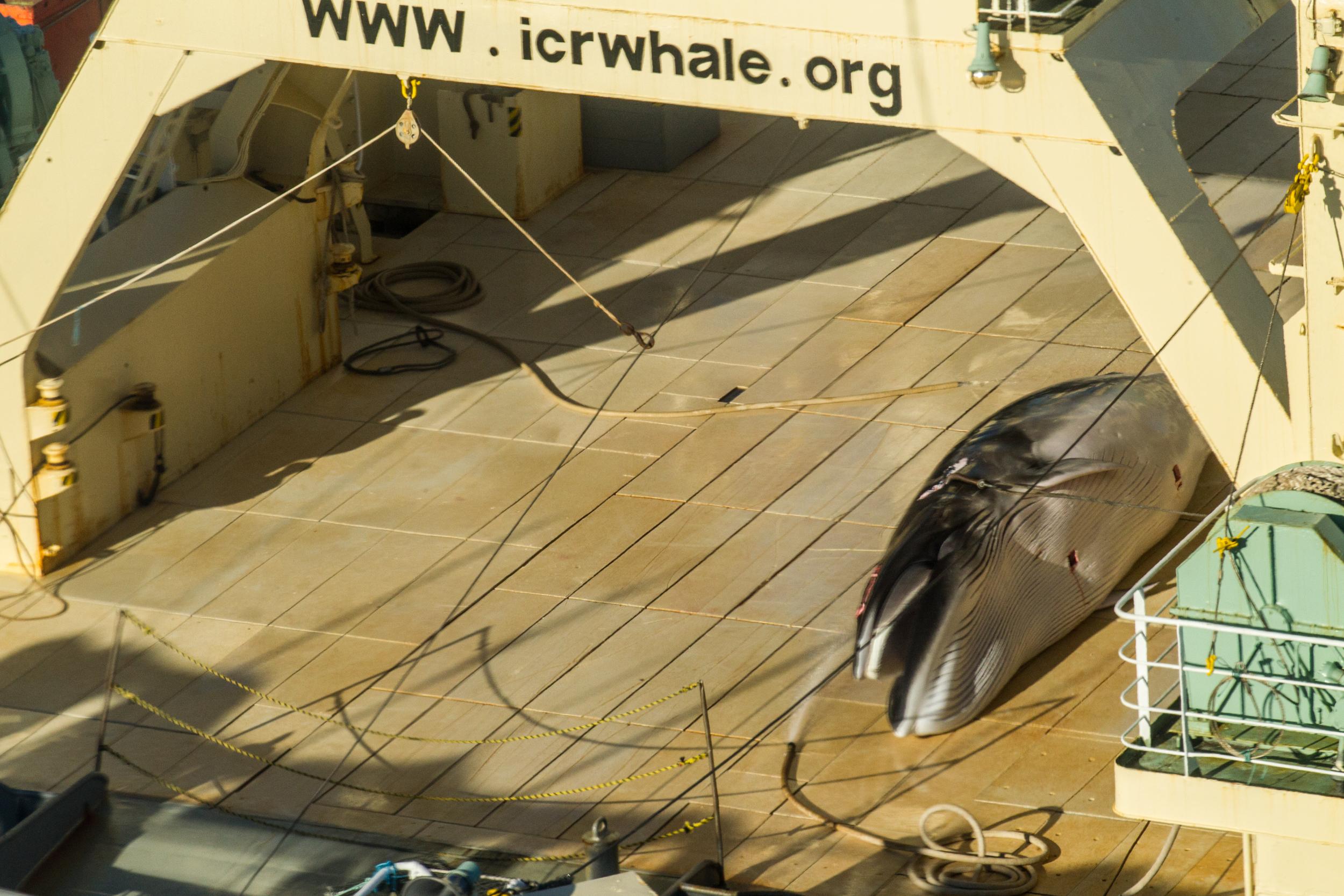 A bálnavadászat betiltása óta először fotóztak lemészárolt bálnát