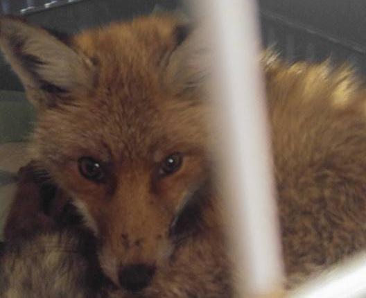 A valóságban nincs happy end: őrkutya ölte meg Fagyit, a népszigeti stéghez fagyott rókát