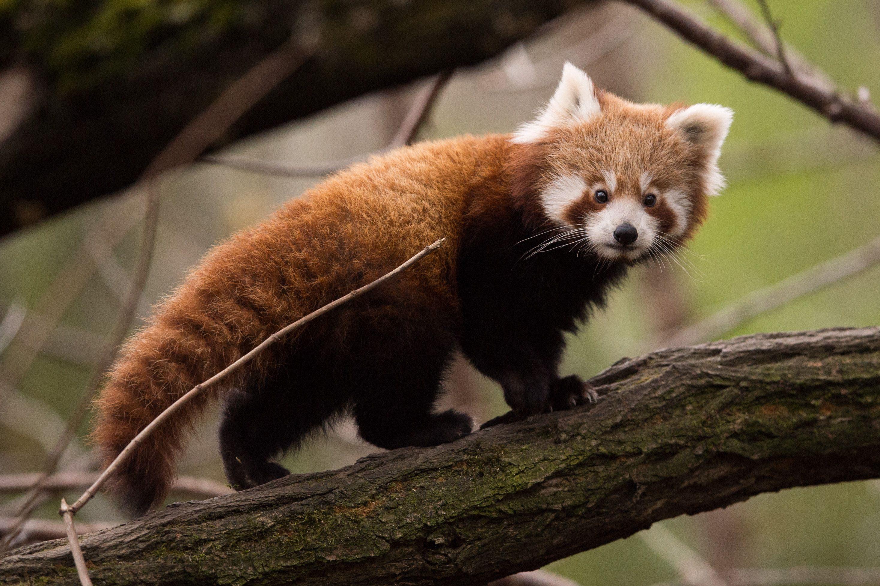 Megszökött egy reménytelenül szerelmes vörös panda egy virginiai állatkertből
