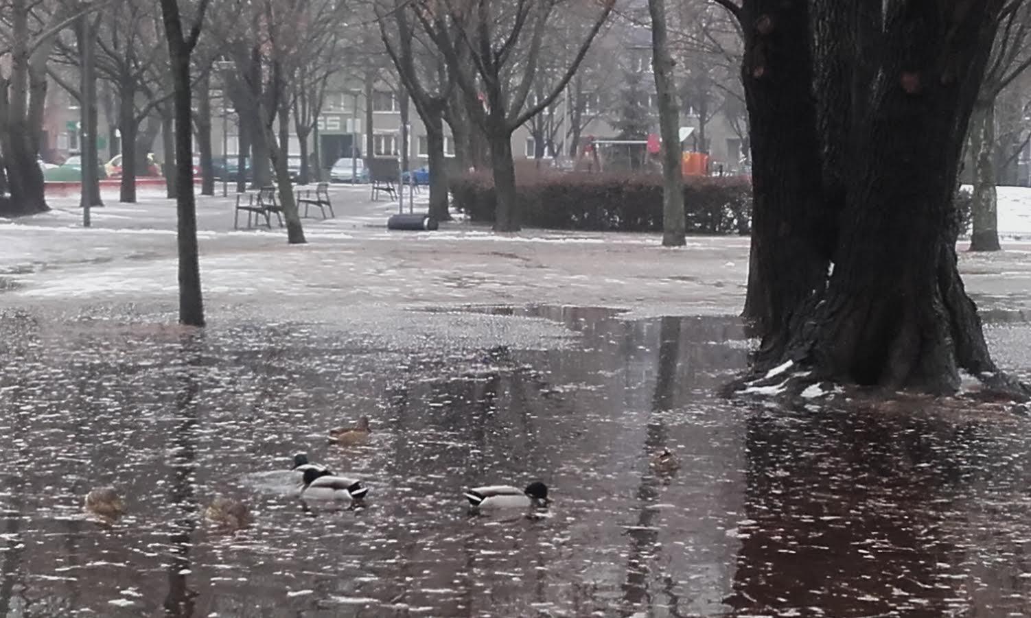 Tavaszodik a budapesti mocsárban, már úszkálnak a vadkacsák a tóvá átalakult Bikás parkban