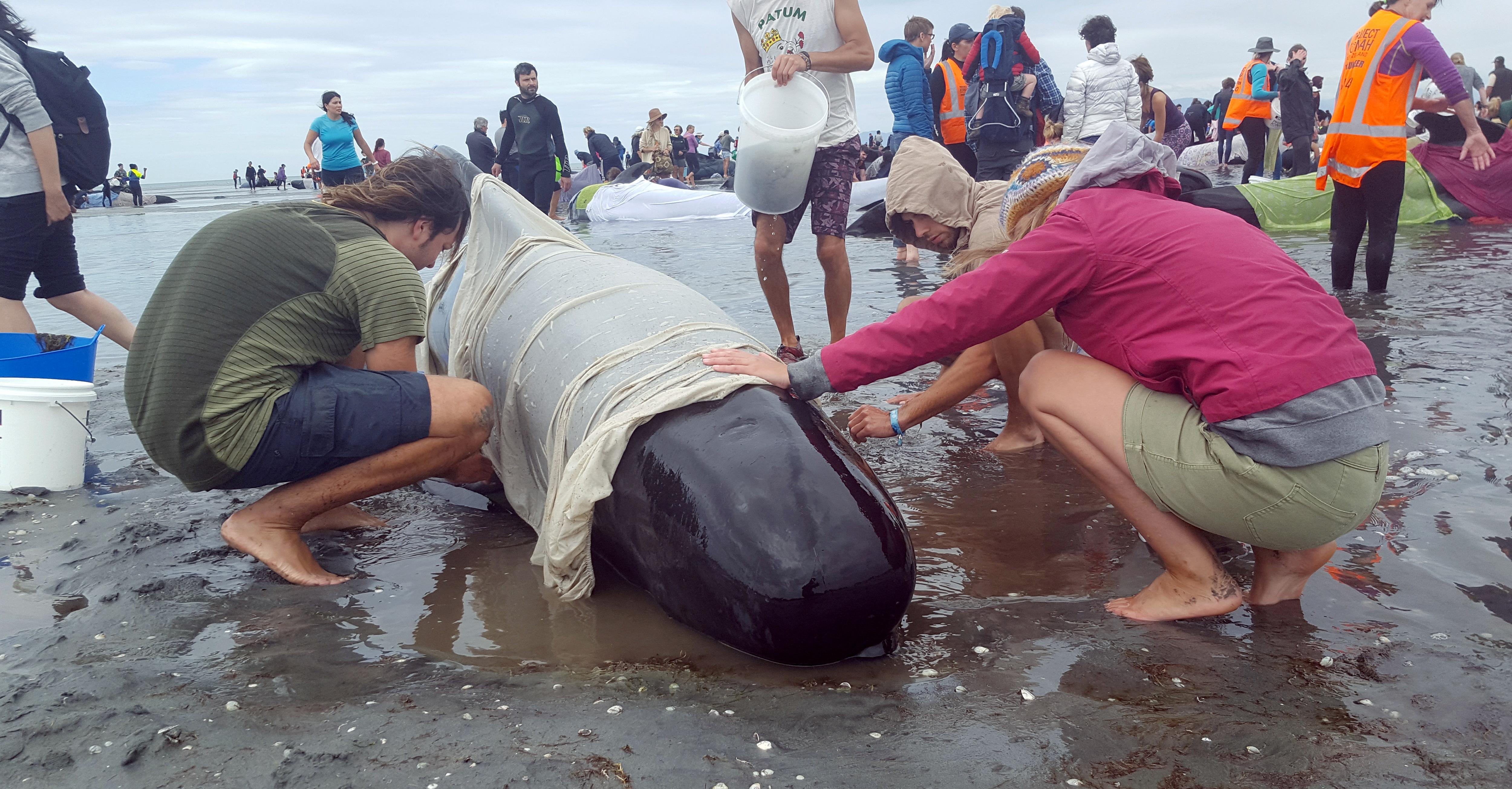 Az idővel versenyt futva próbálnak megmenteni száz, partra vetett cetet
