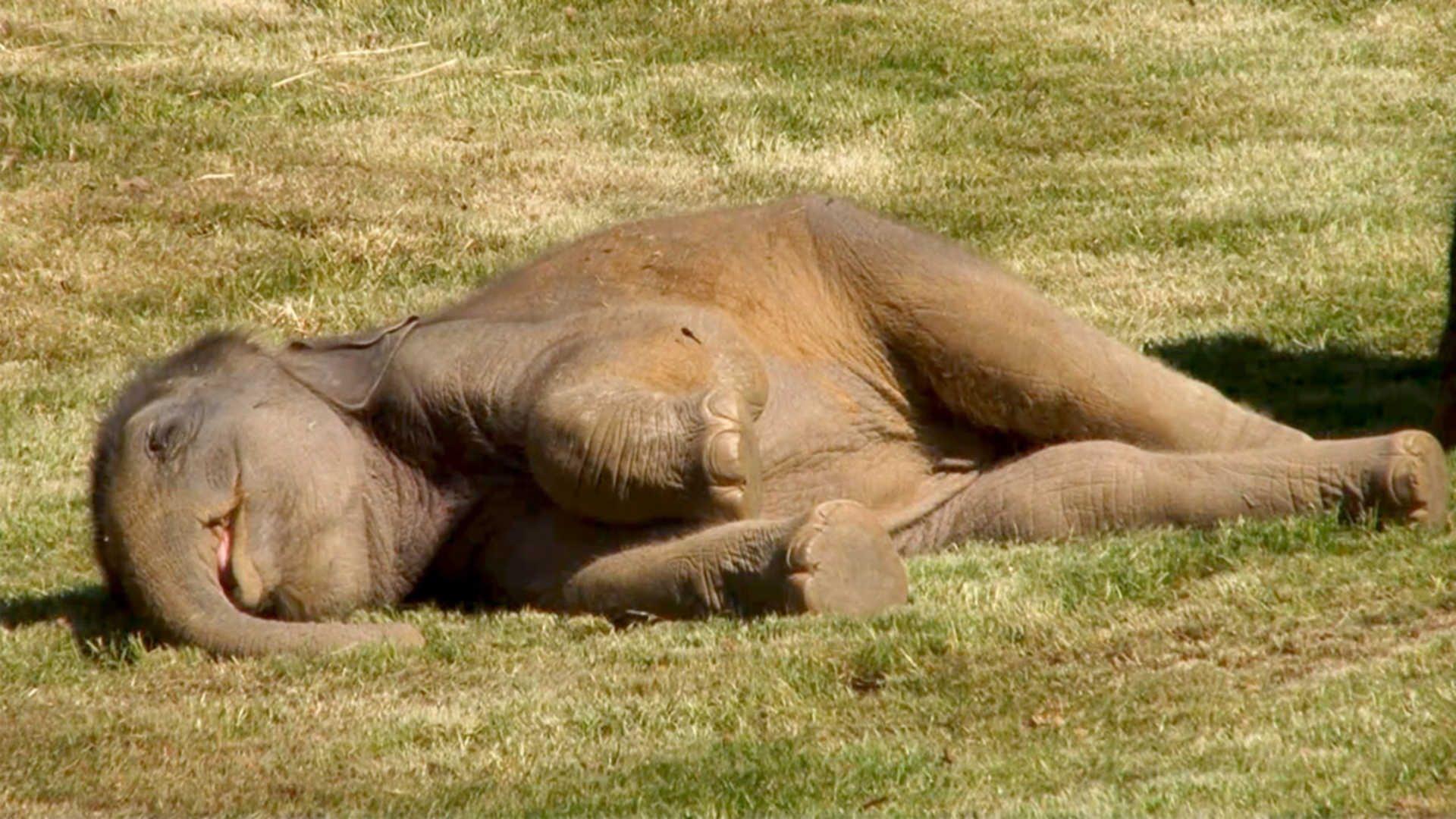 Napi két óra alvással beérhetik a vadon élő elefántok