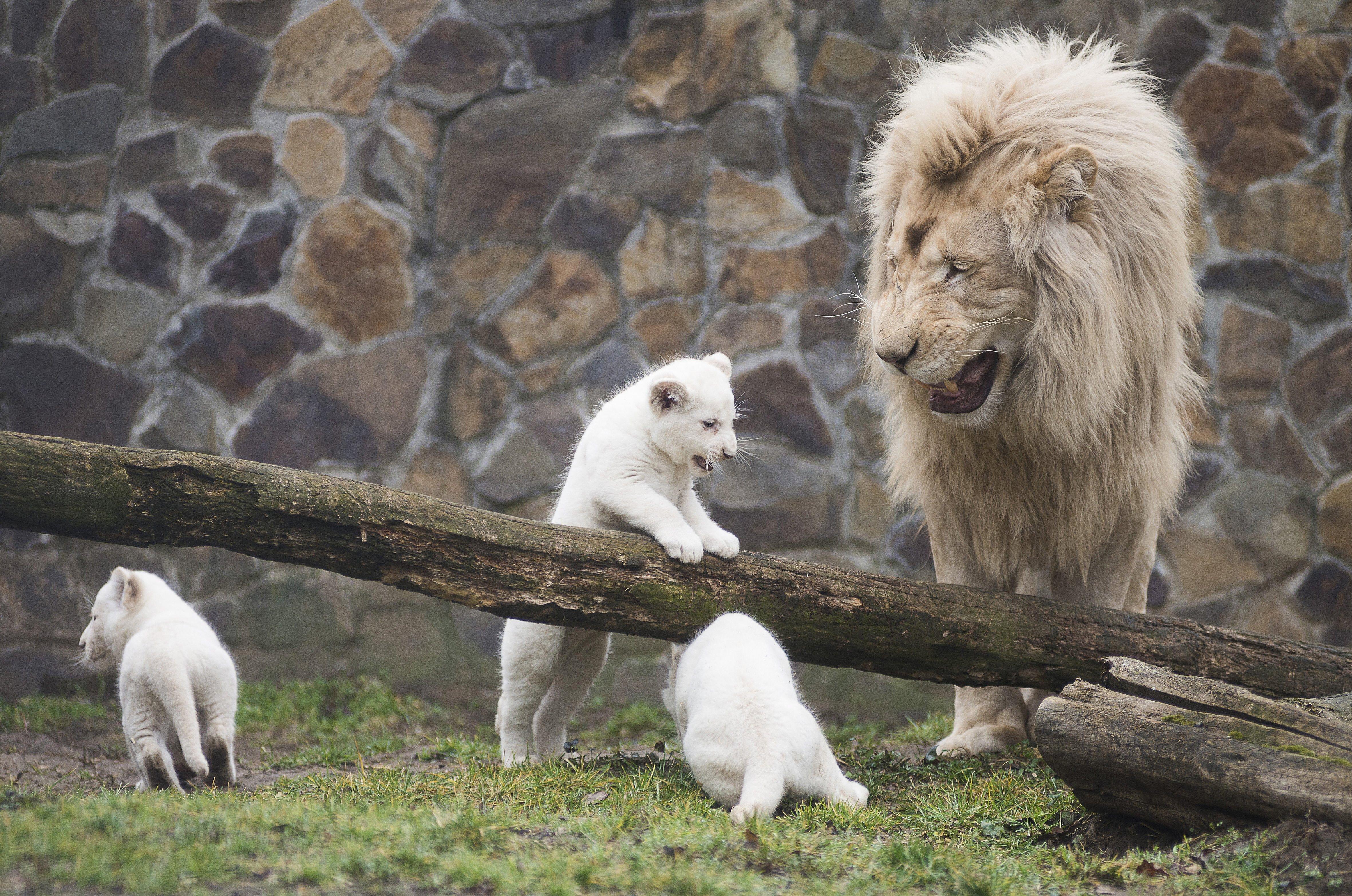Bemutatták a Nyíregyházi Állatpark 3 fehér oroszlánkölykét