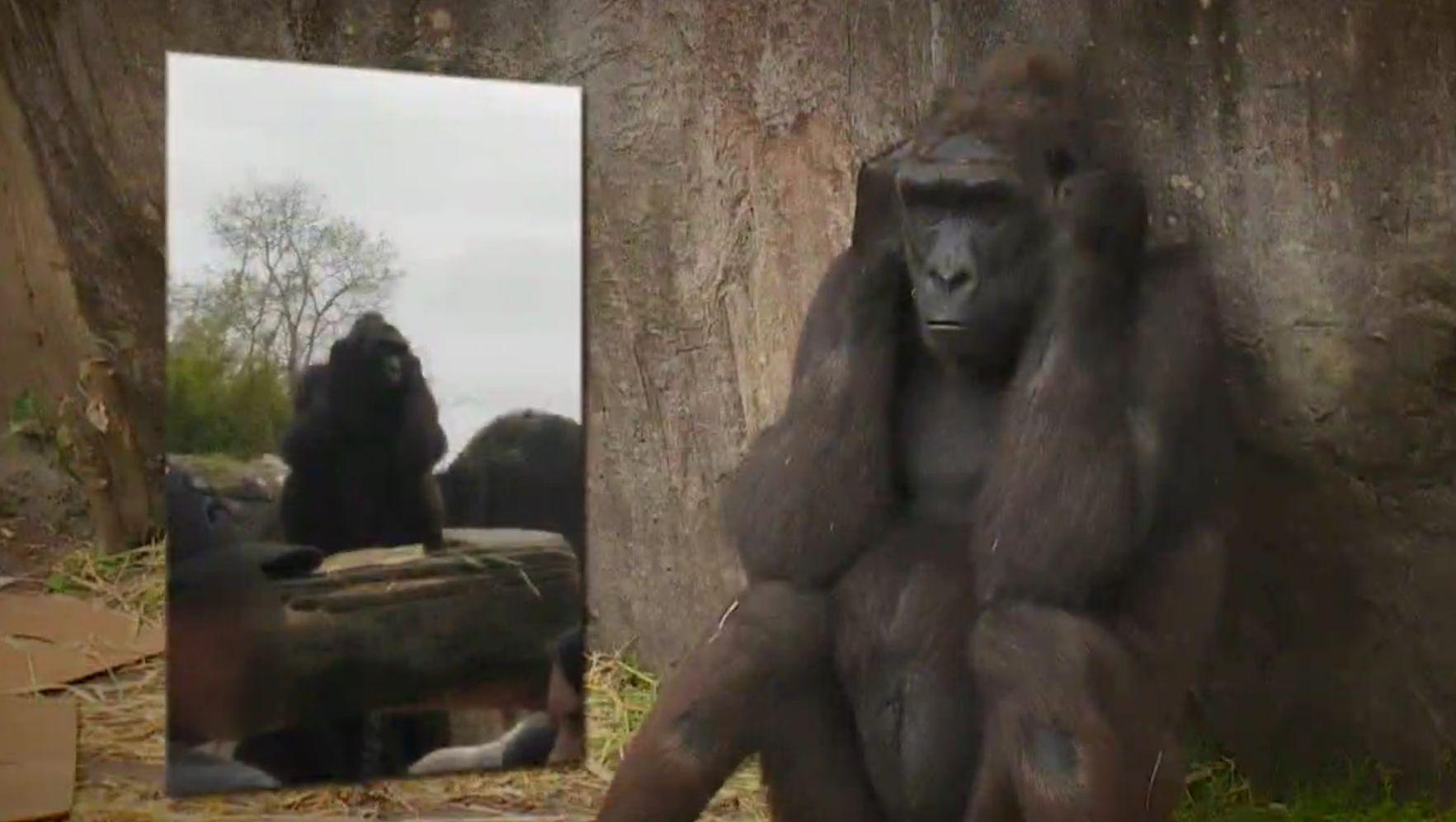 Farönkkel dobott fejbe egy terhes nőt egy gorilla a New Orleans-i állatkertben