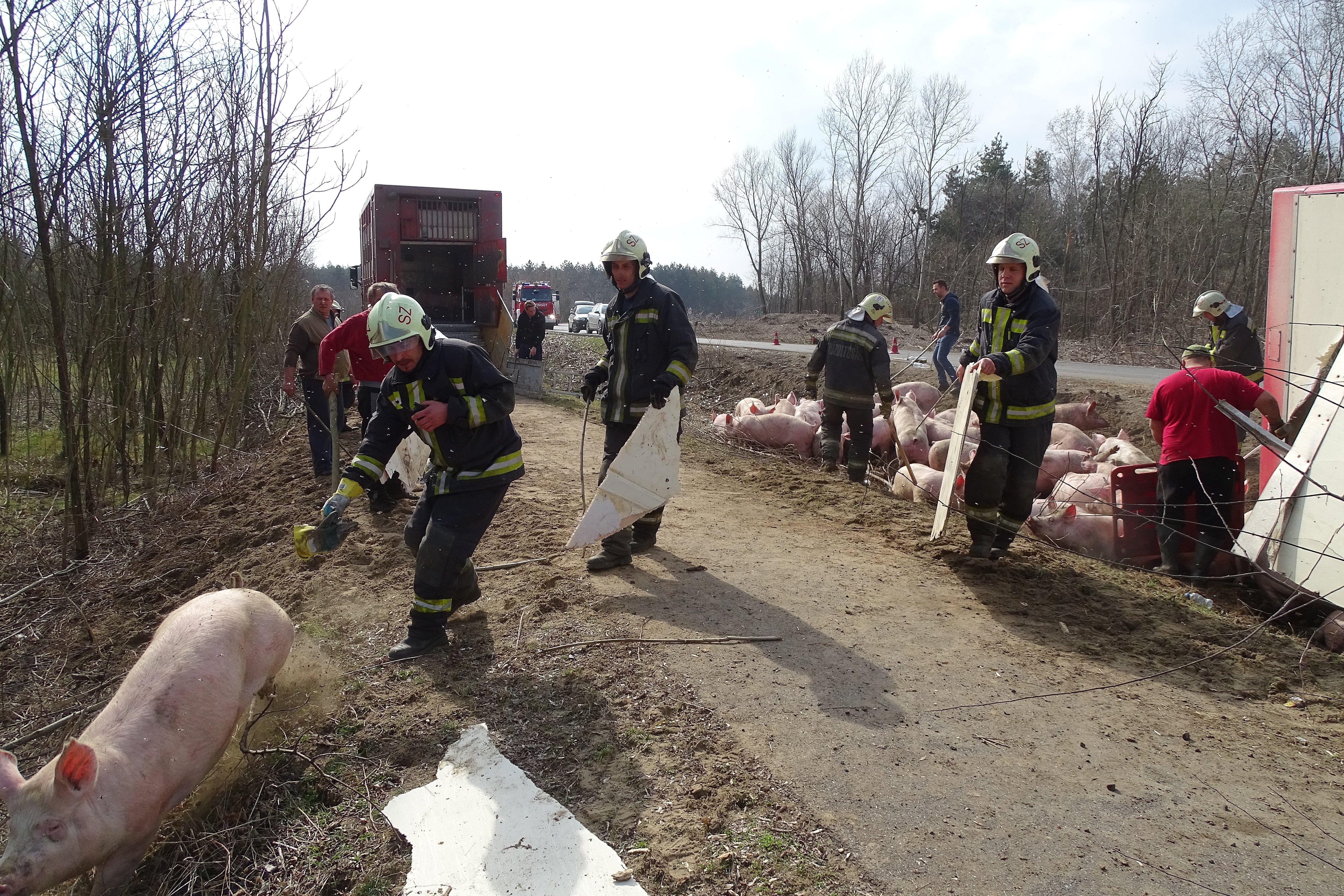 Több sertés is életét vesztette, amikor megborult egy szállítókamion Taszáron