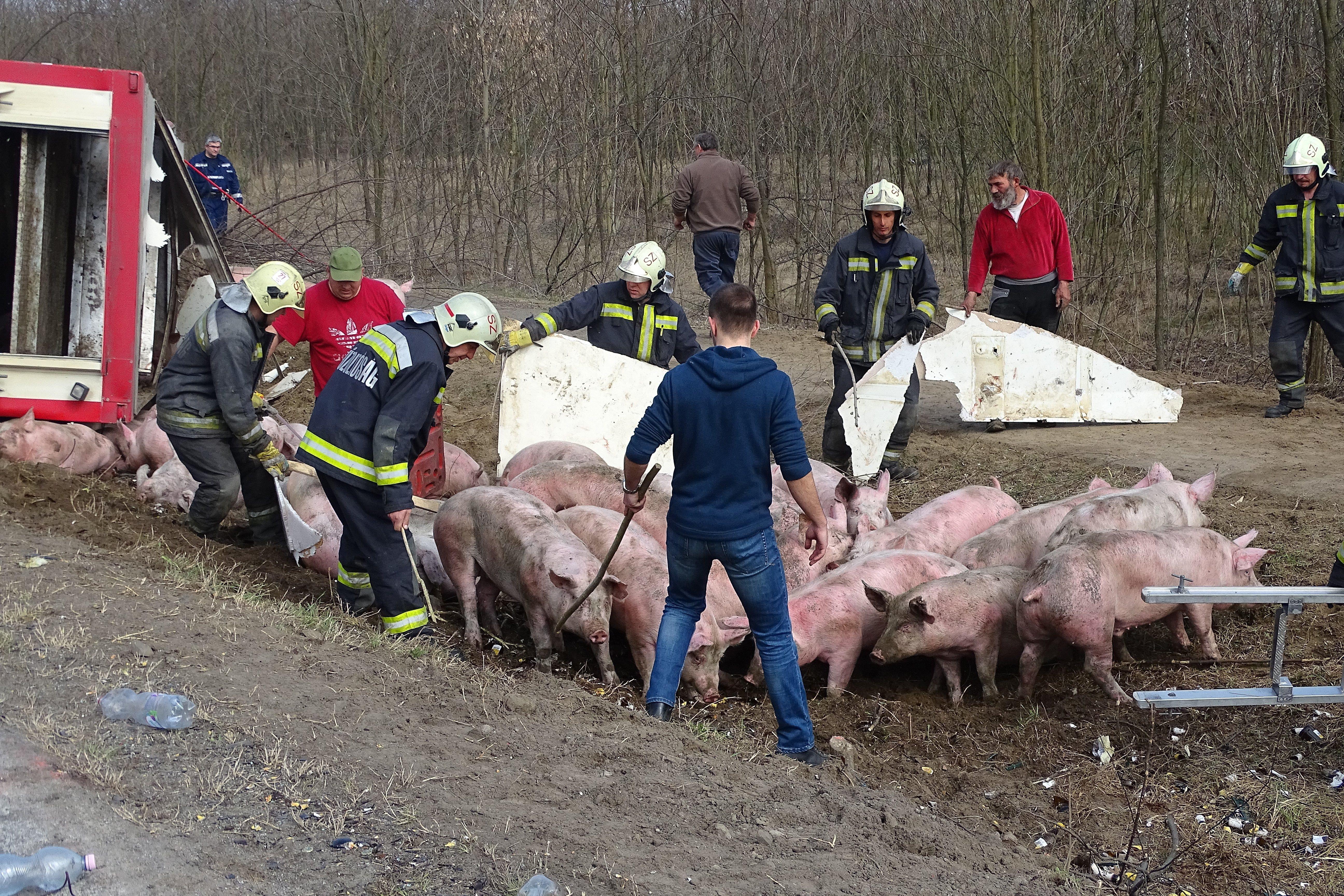Disznók borultak fel Ásotthalomnál, tűzoltók terelték őket össze