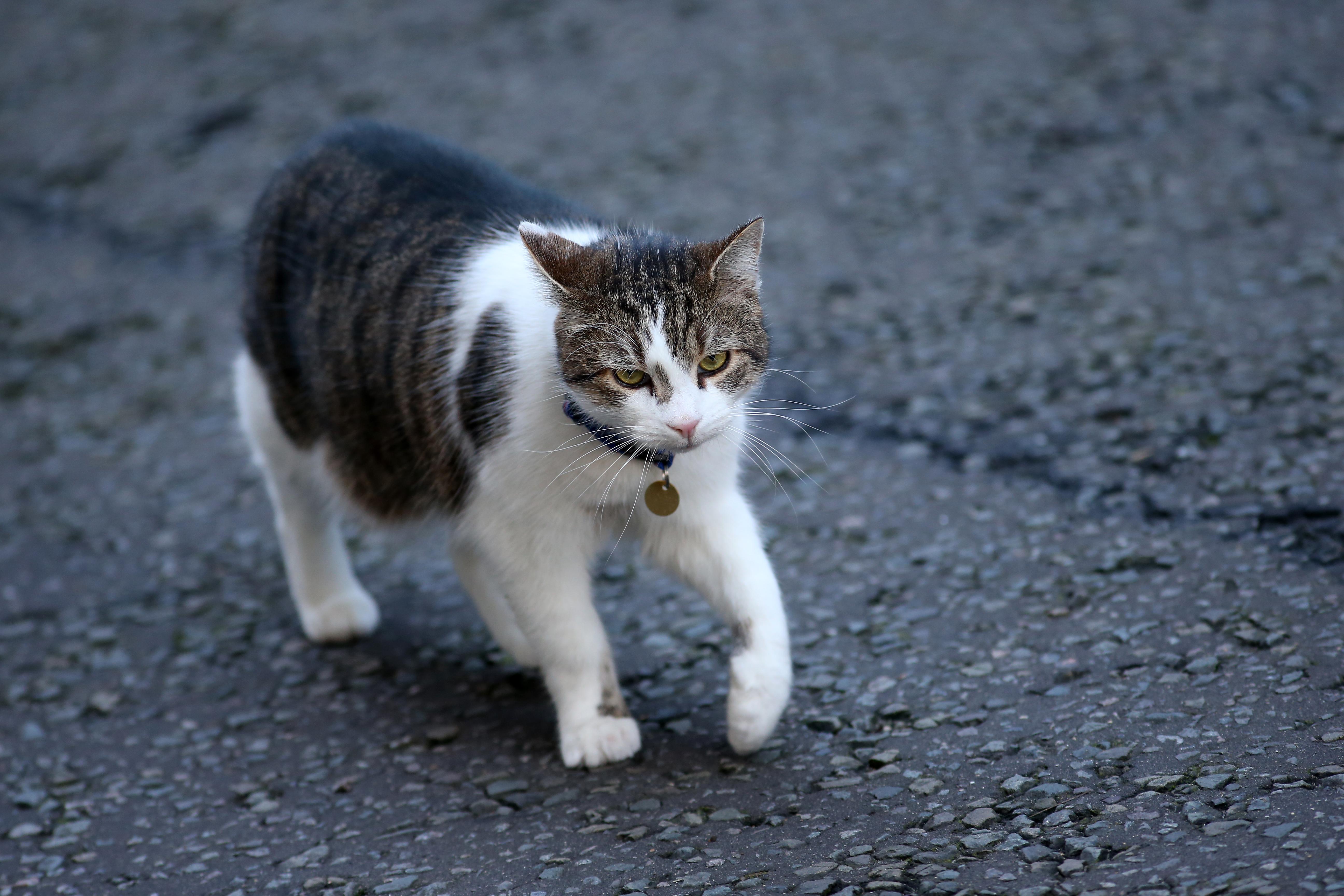 Macskabotrány Angliában: a miniszterelnöki macska nem nagyon tud egerészni