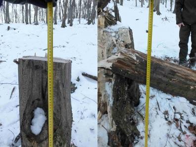 Fát mentek lopni, de egyikükre rádőlt a kivágott 16 méteres gyertyán