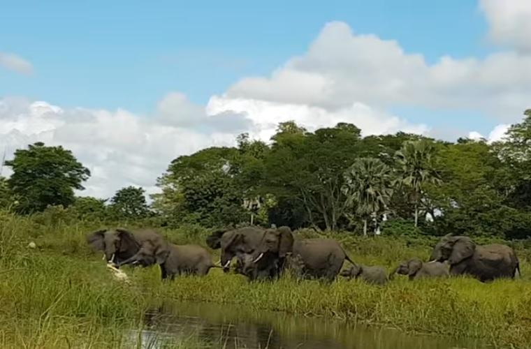 Krokodil harapott rá egy elefánt ormányára