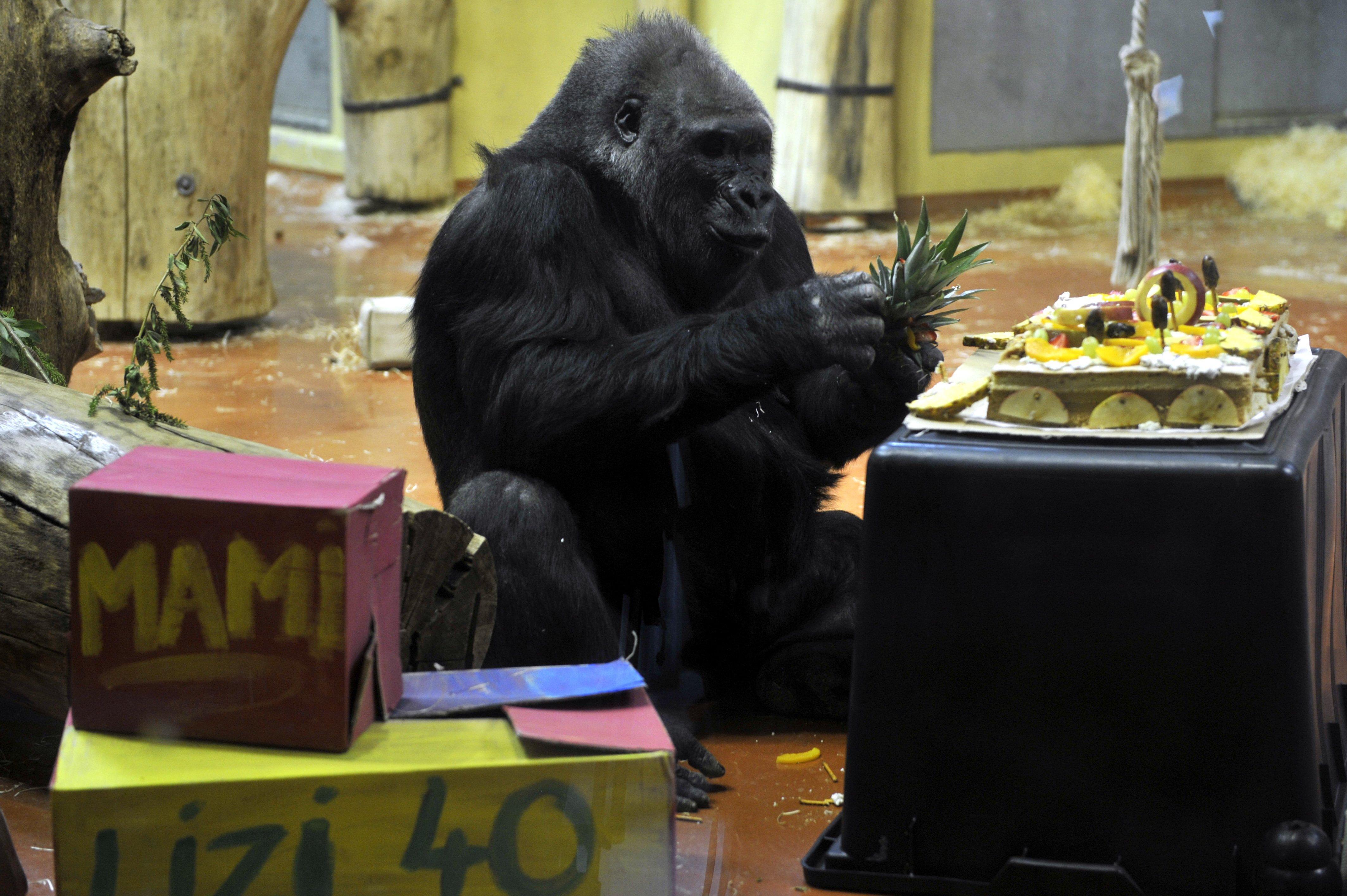 40 éves lett Liesel, a fővárosi állatkert legidősebb gorillája