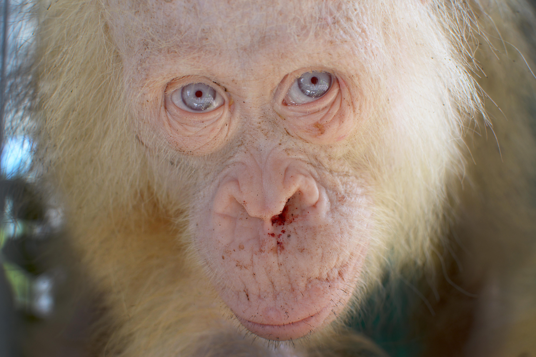 Iszonyú ritka, albínó orangutánt fogtak be Borneón