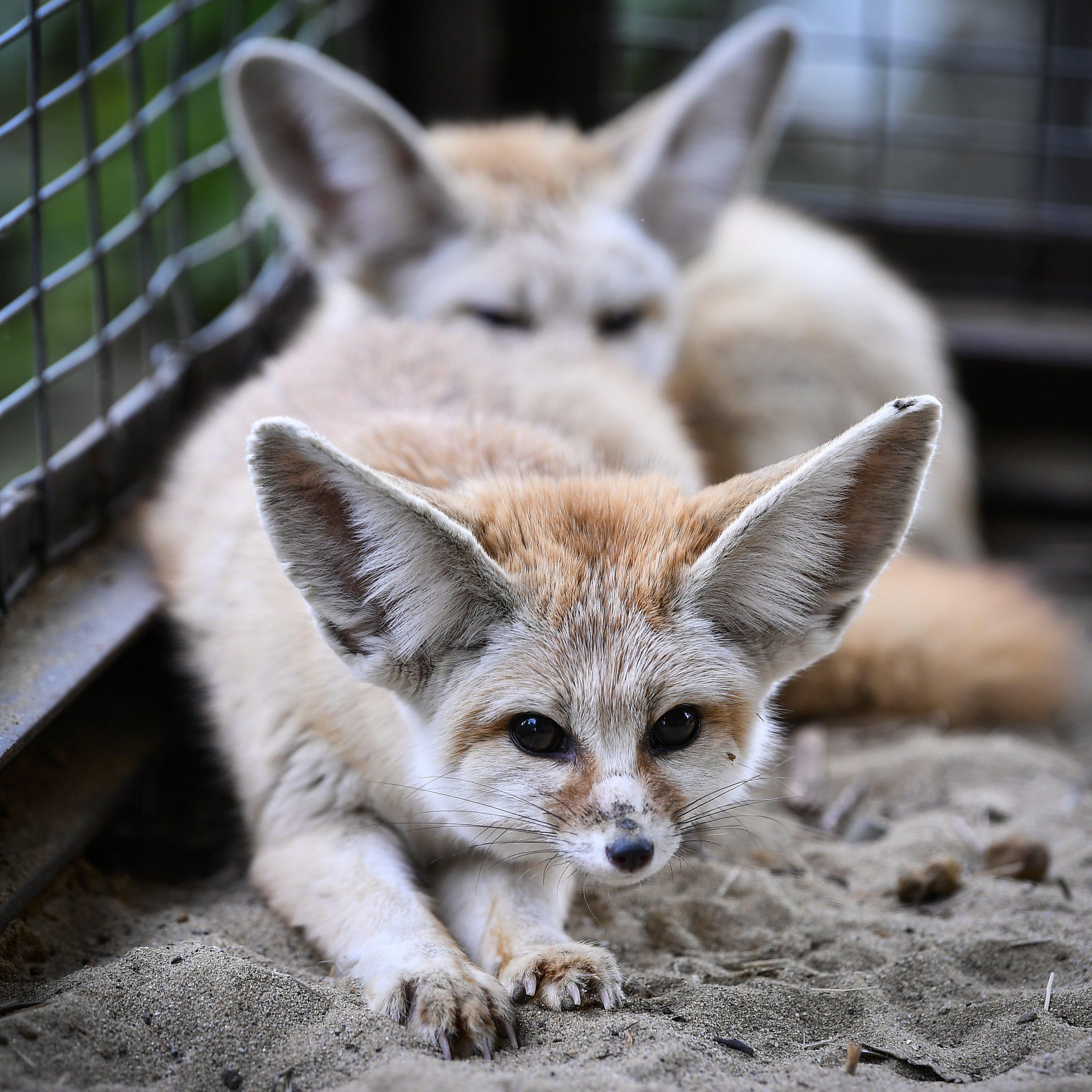 Sivatagi rókák költöztek a debreceni állatkertbeヽ(^◇^*)/