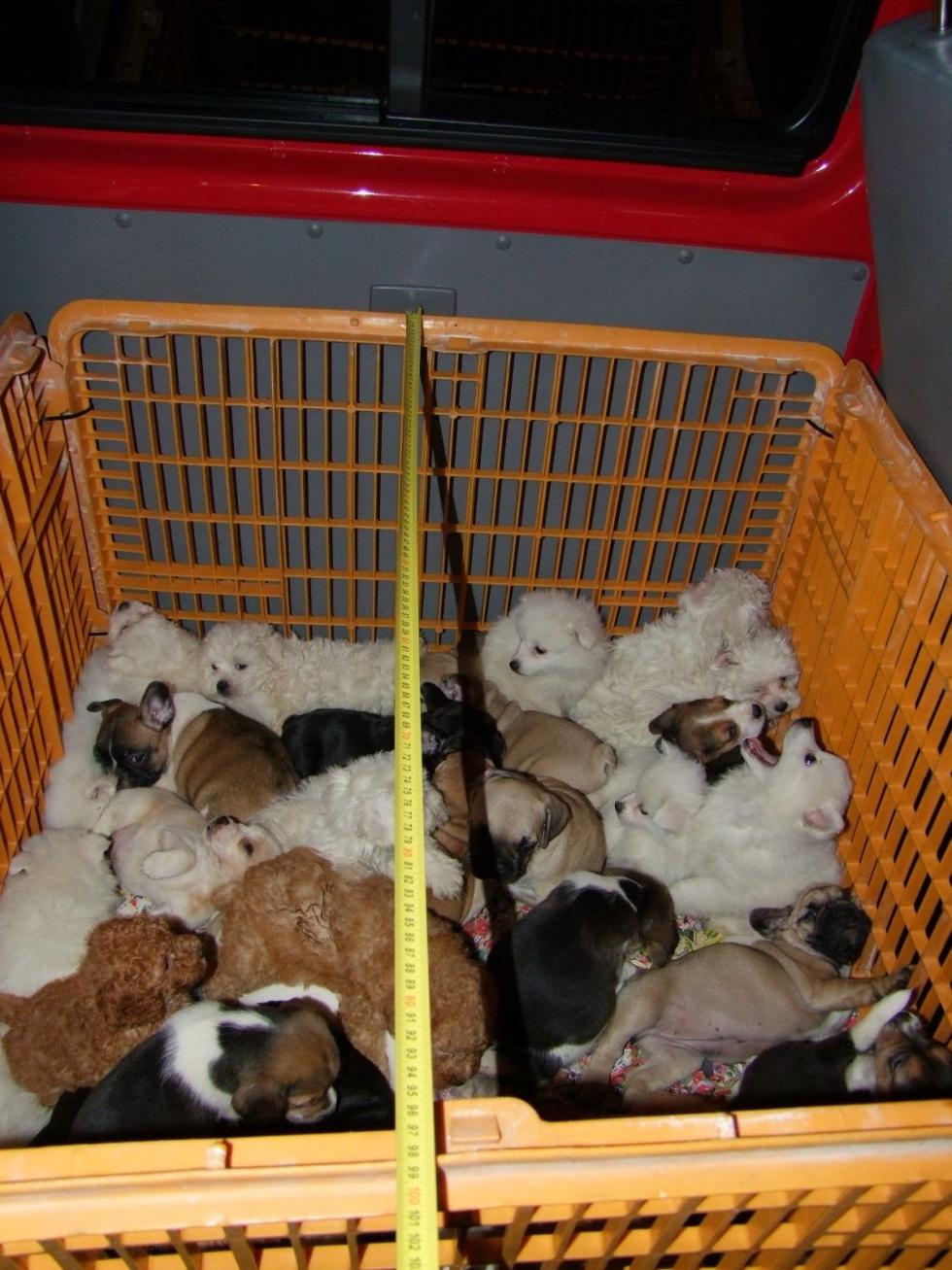 54 kiskutyát találtak egy olasznál Nagykanizsán
