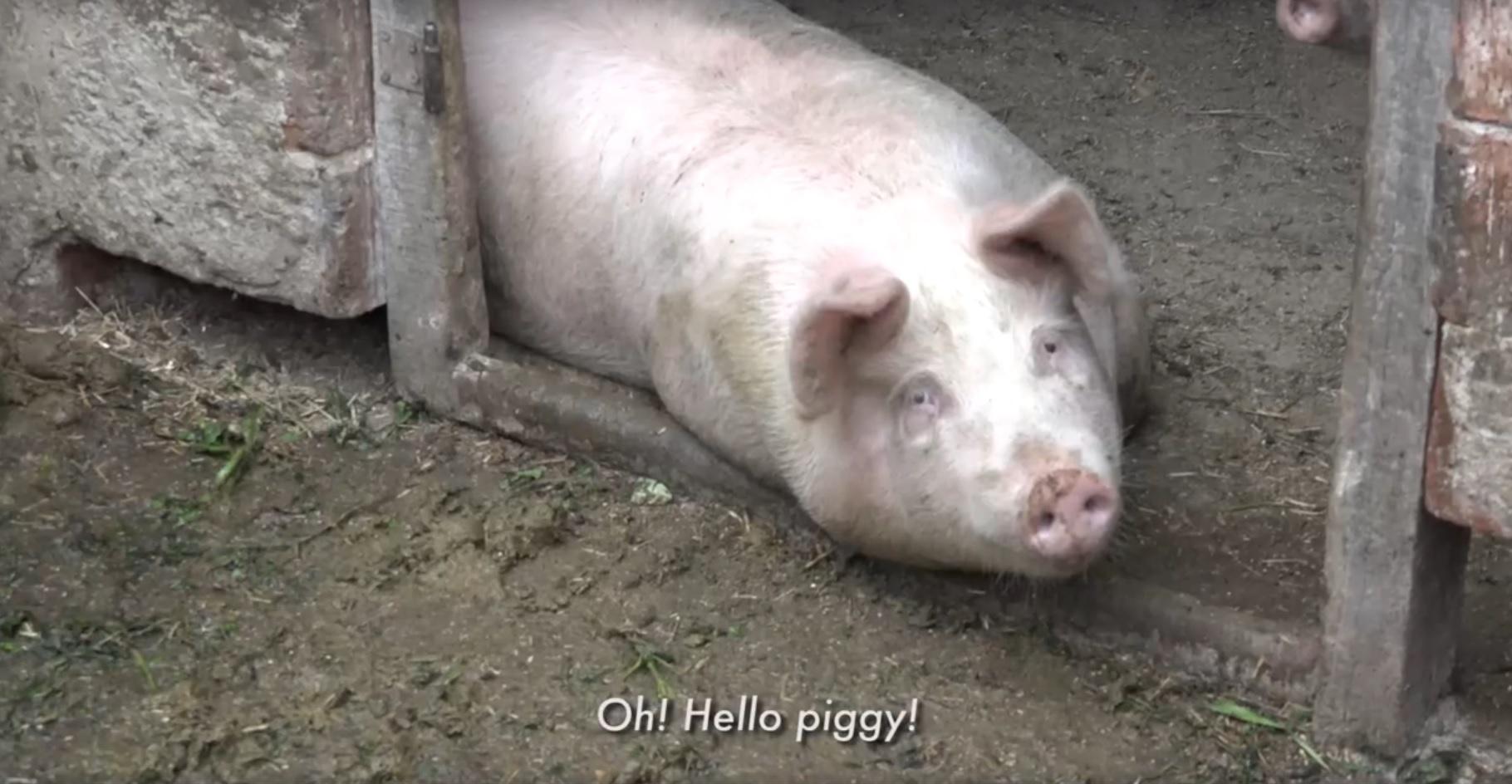 Na, heló, röfik! - Majdnem 250 ezer tonna disznóhúst eszünk évente Magyarországon