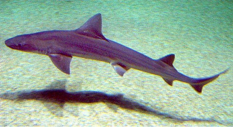 Kedden bekövetkezett a brit történelem első feljegyzett cápatámadása