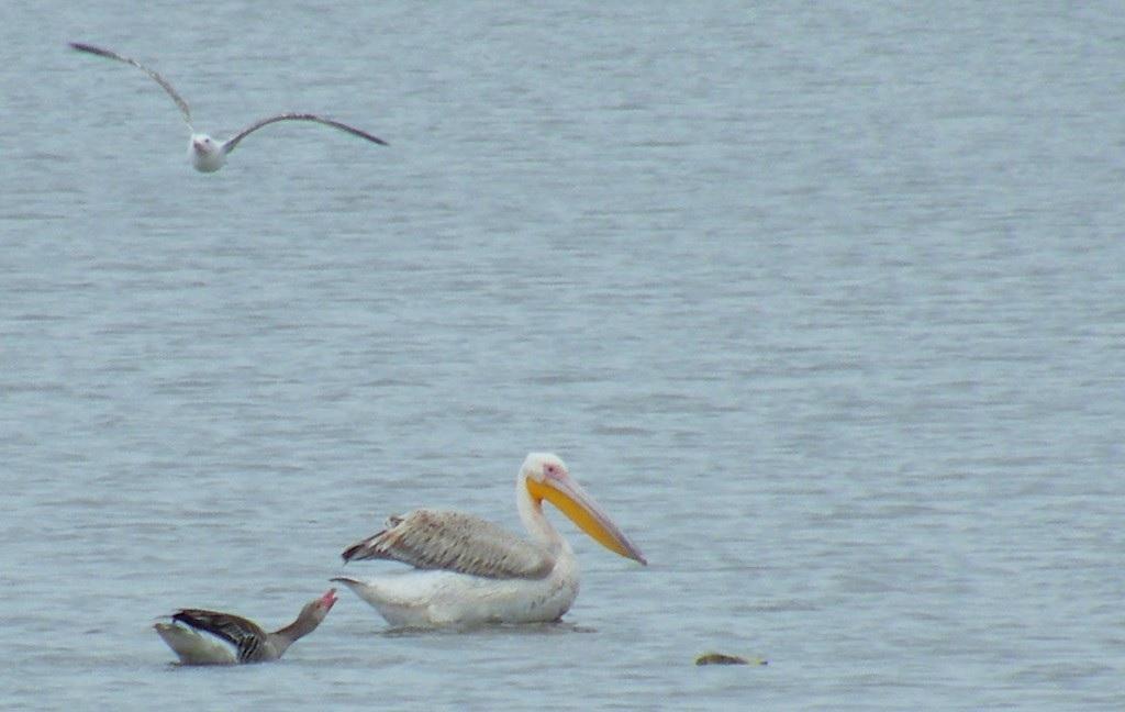 A pelikán az 1870-es években pusztult ki Magyarországon, most újra lakik egy példány a Hortobágyon
