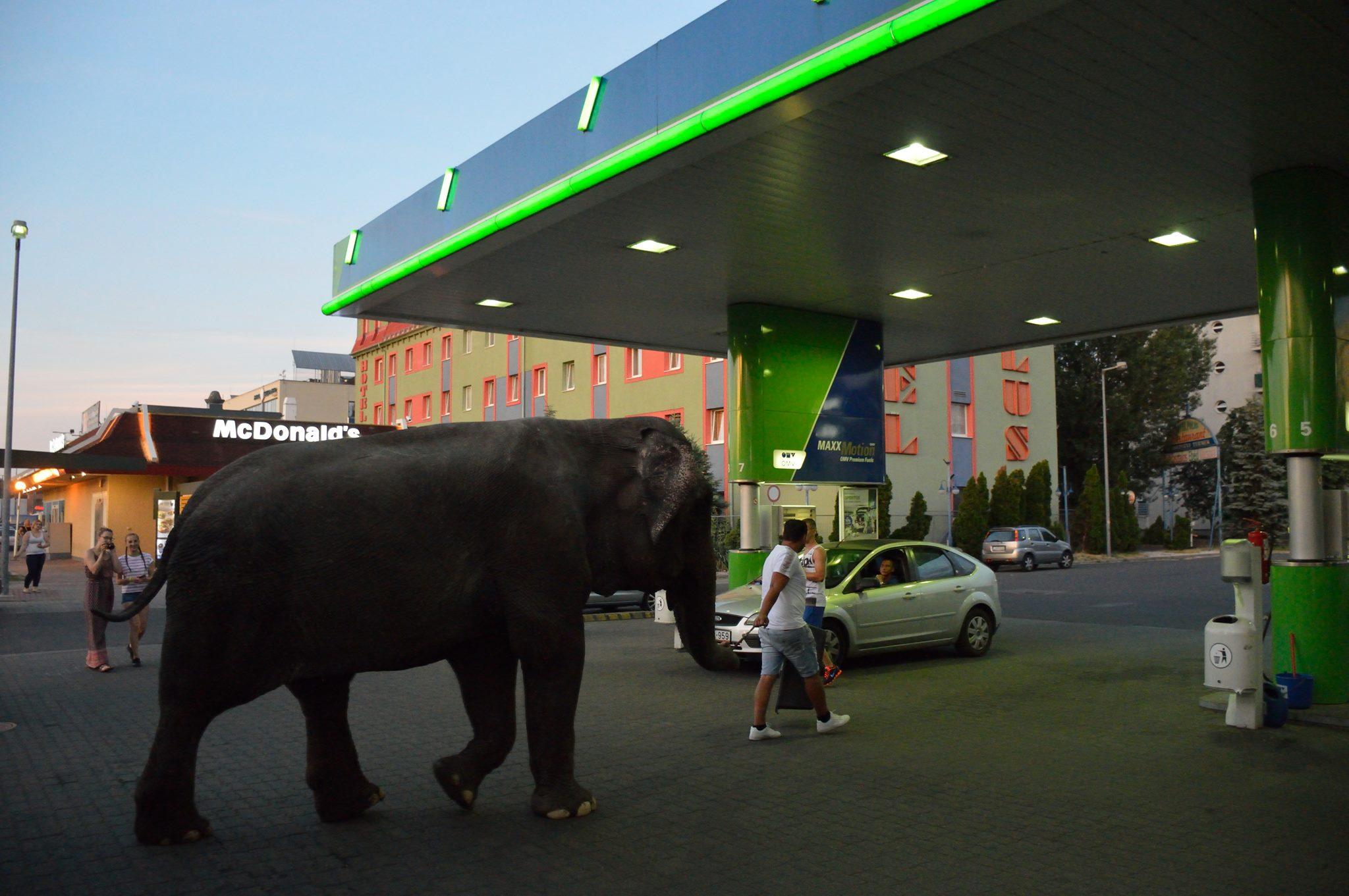 Egy újpalotai benzinkútnál itatta meg az elefántját egy cirkuszi gondozó