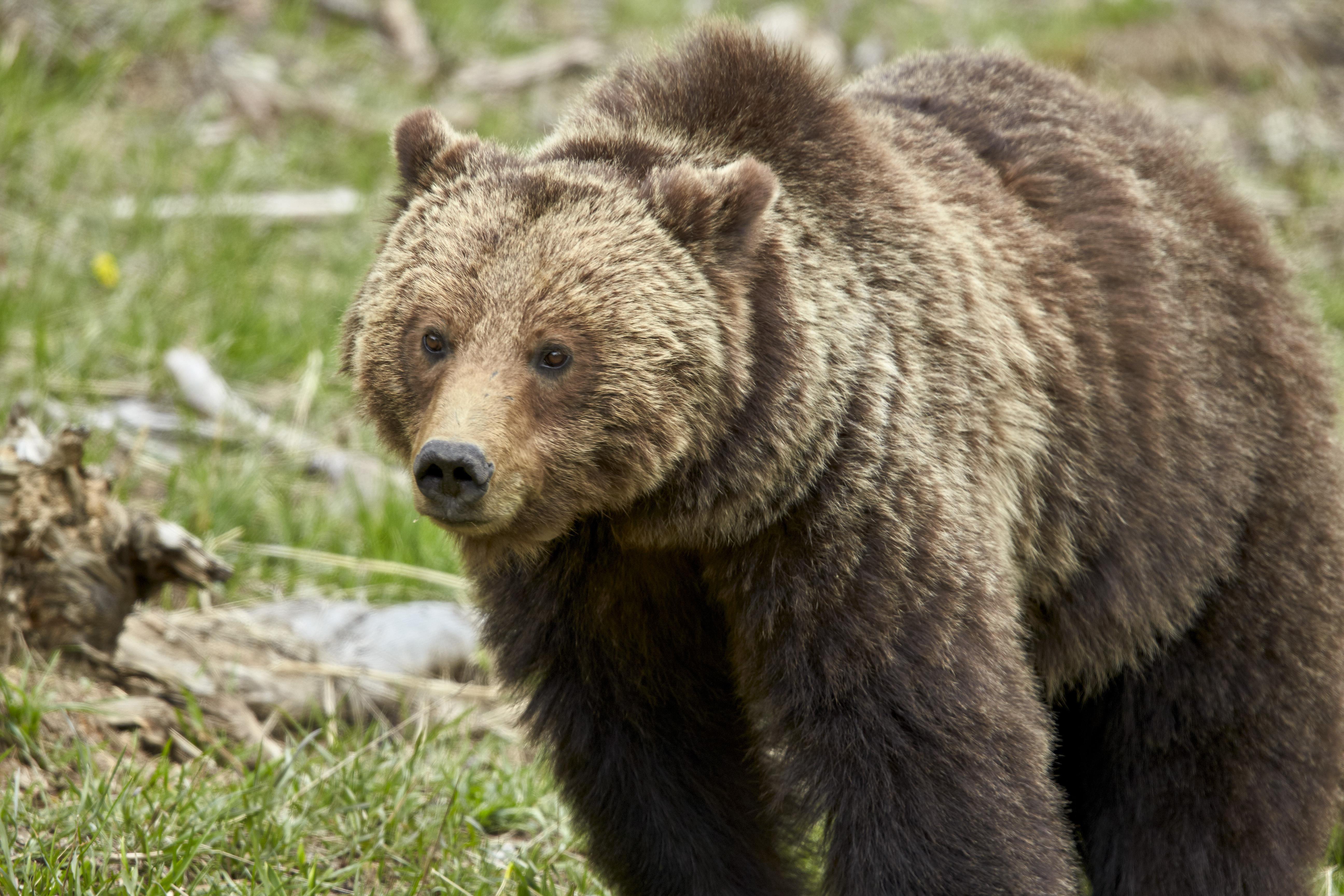 Beleharapott egy medve egy alaszkai nő fenekébe, miközben a vécén ült