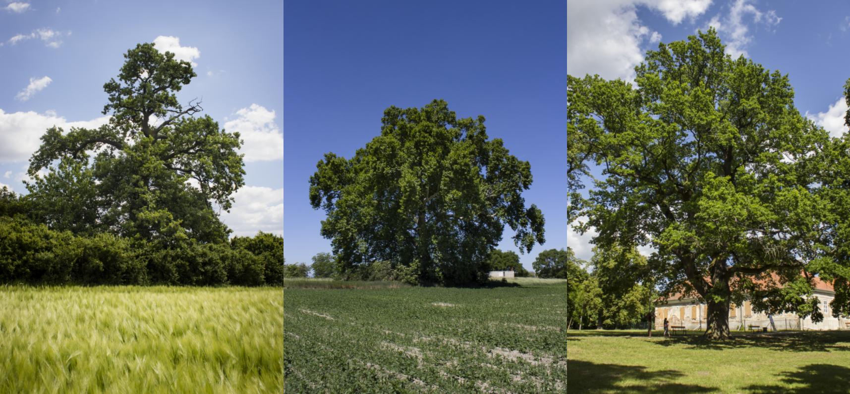 Akár több tősgyökeres magyar fa is az év szlovák fája lehet