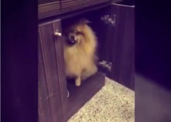Nagyon furcsa reflex alakult ki ebben a pomerániai kiskutyában