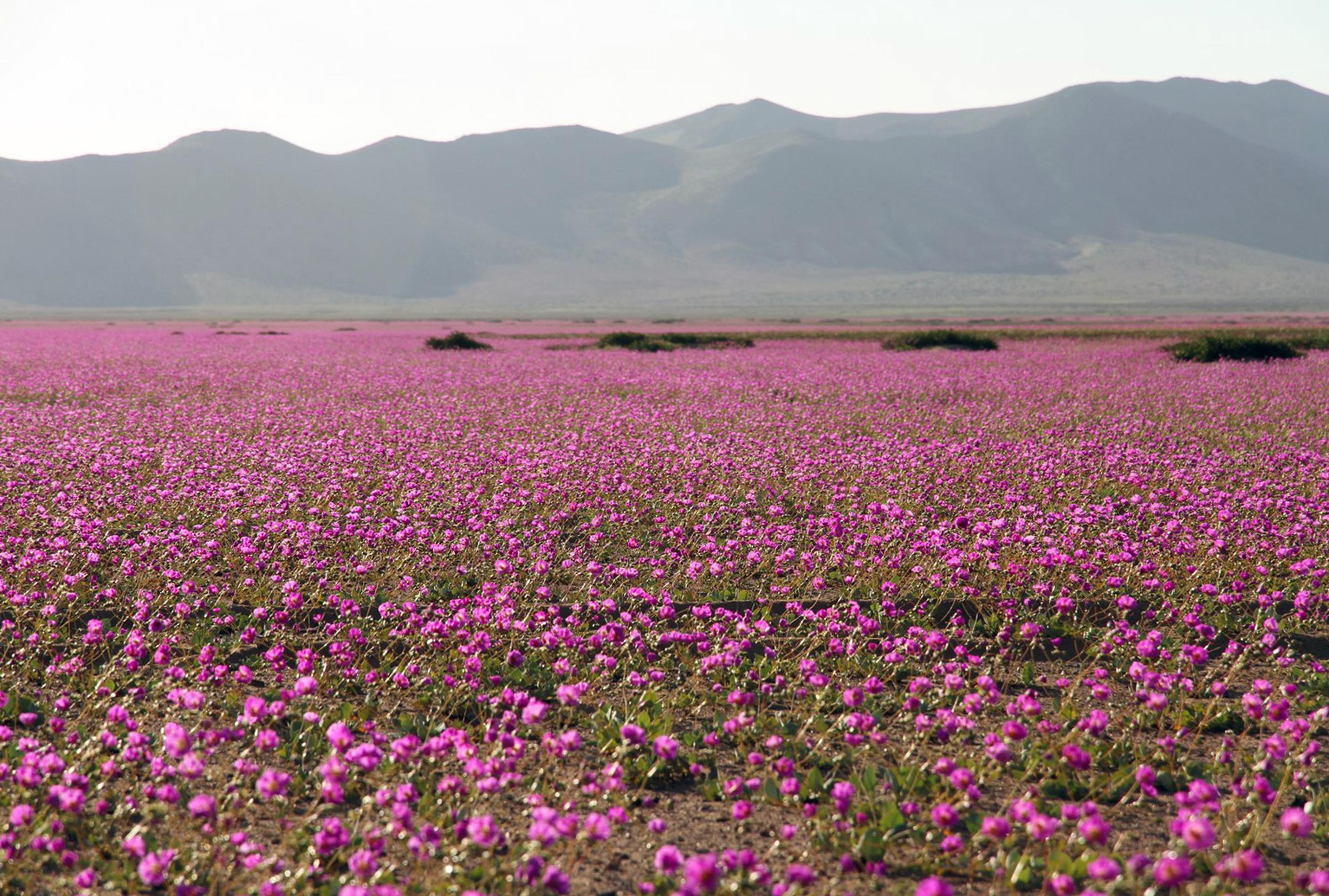 Virágzik a világ legszárazabb sivataga