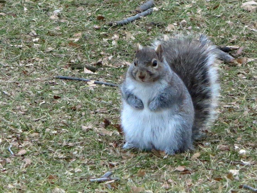 A városban élő mókusok kövérebbek és kevésbé stresszesek, mint vidéken élő társaik