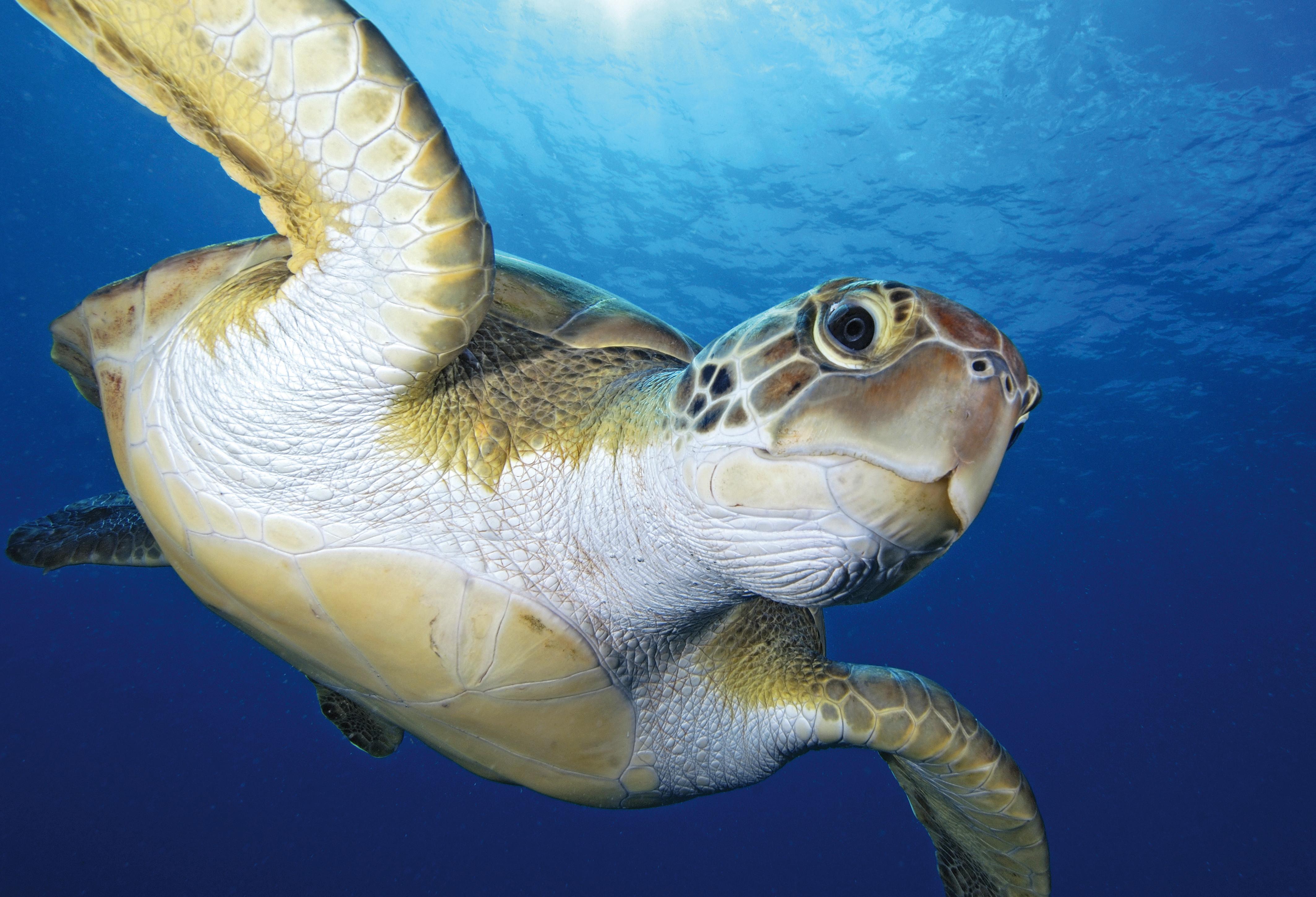 Egyre több a tengeri teknős