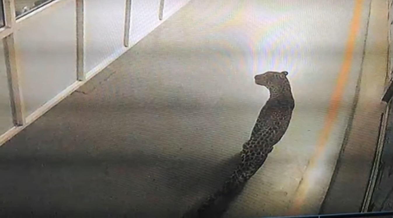 Másfél napig állt a Suzuki indiai gyára egy betévedt leopárd miatt