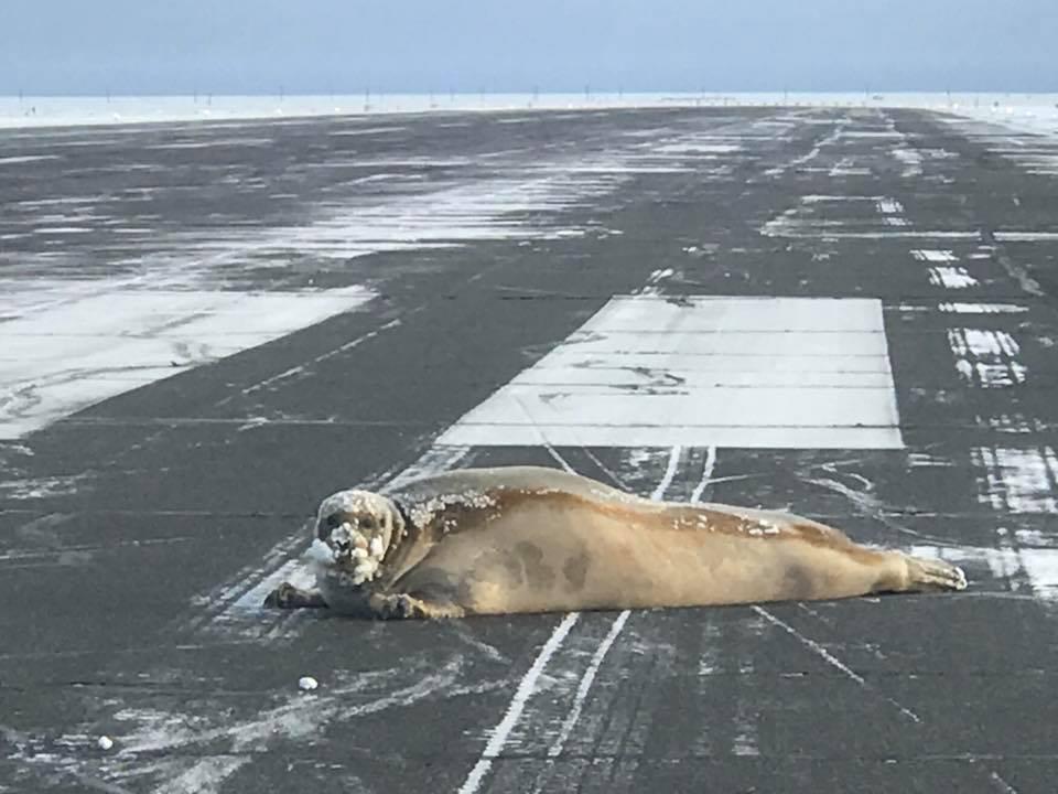 Fókát sodort a vihar az alaszkai Utqiagvik repülőterének kifutópályájára