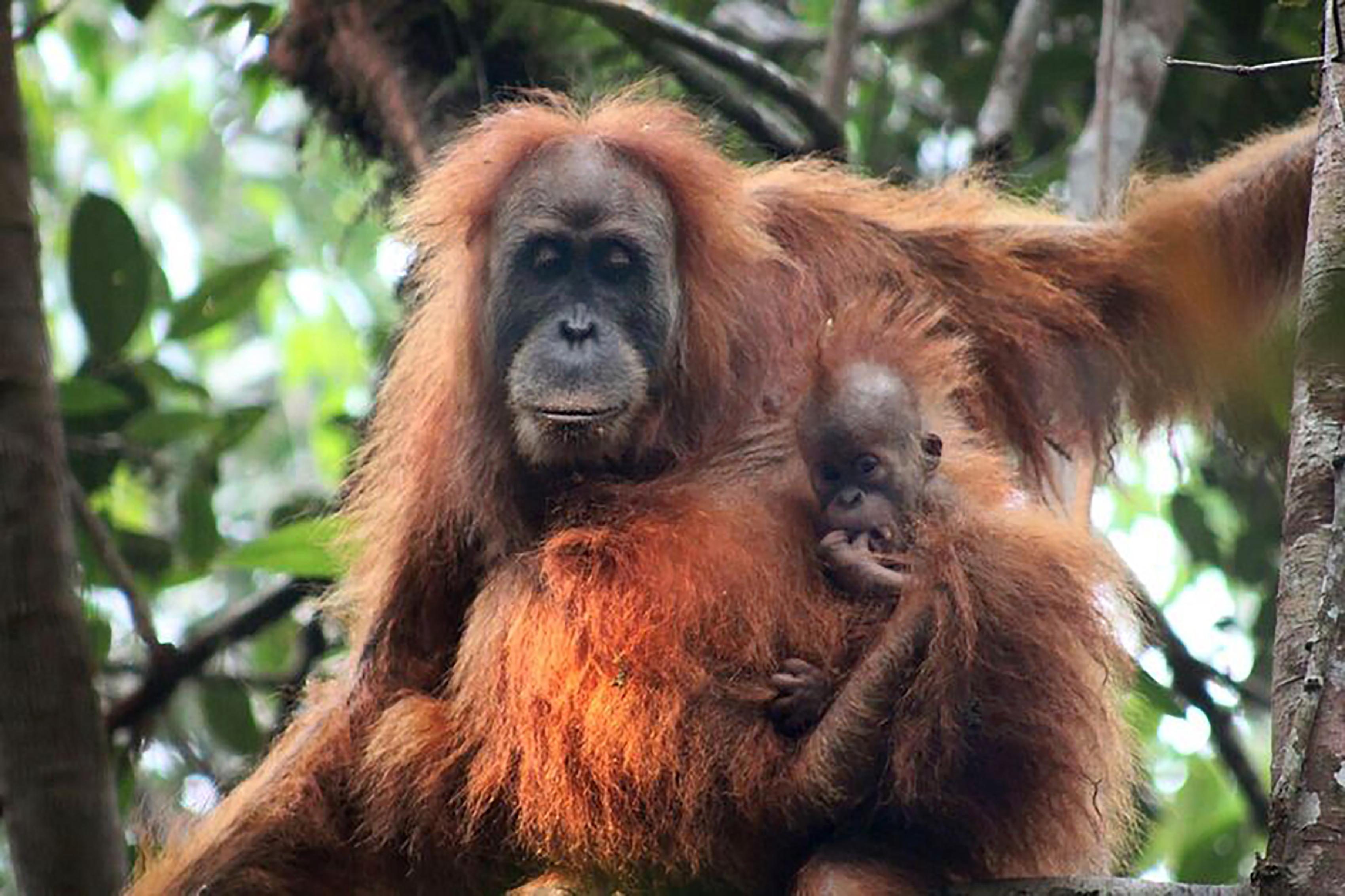Új orángután-alfajt fedeztek fel, és máris a kihalás szélén áll