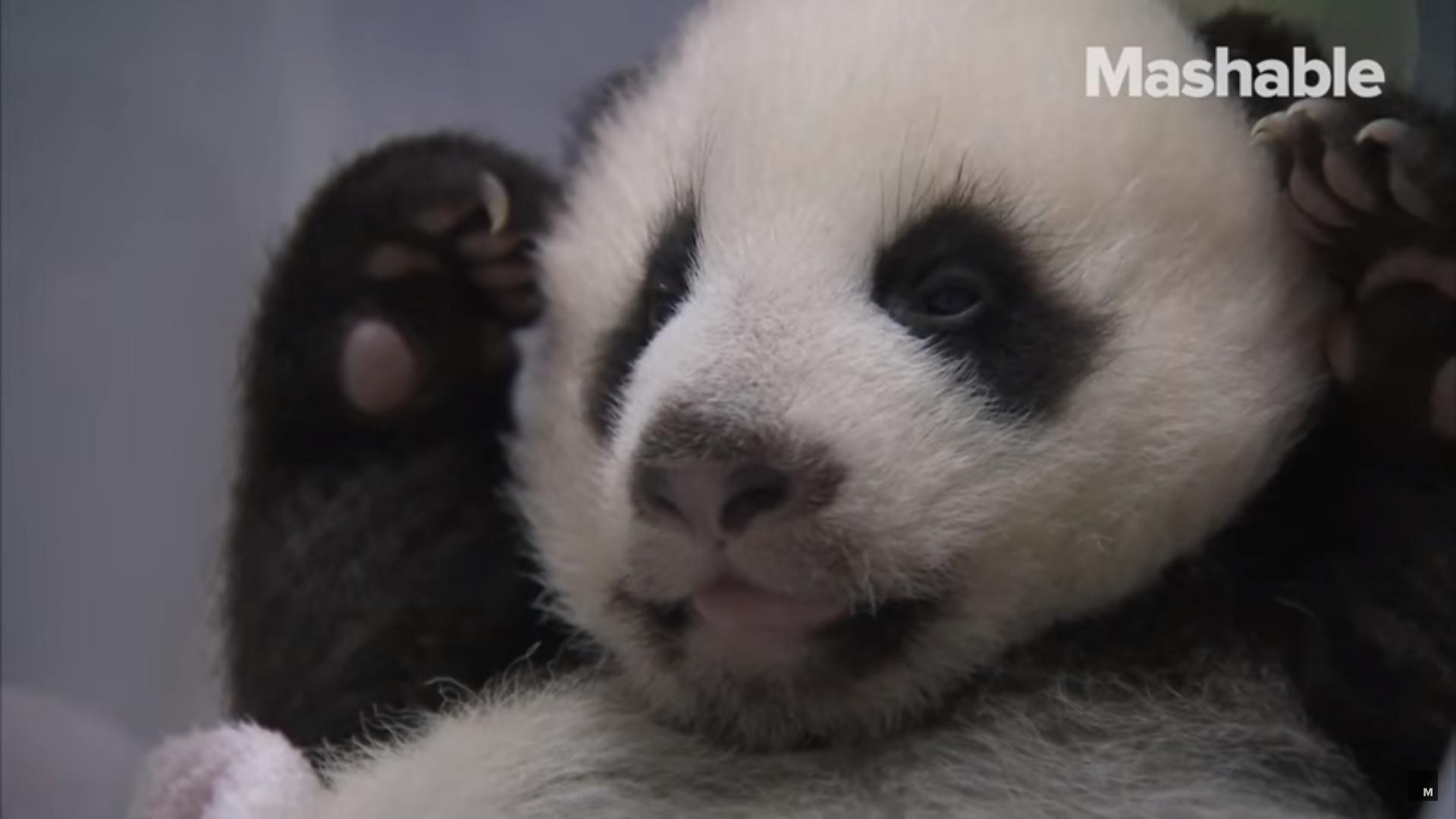 Olyan játékosak a bébipandák, hogy aludni sem tudnak, ezért inkább elzárják őket egymástól
