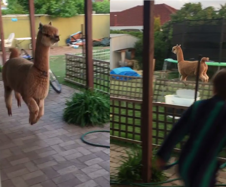 Úgy ugrabugrál és kergetőzik az alpaka a kertben, mintha egy animációs filmből tanulta volna a mozdulatokat