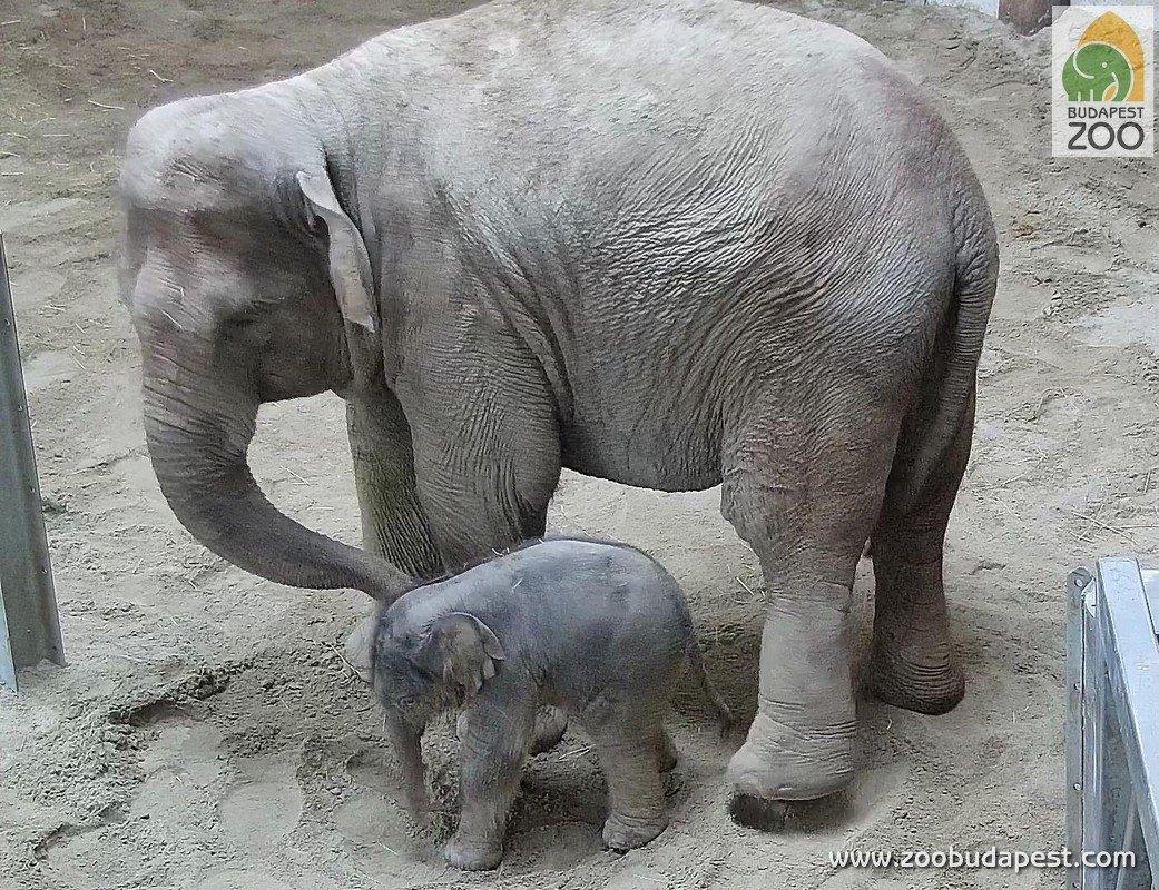 Kiselefánt született az Állatkertben
