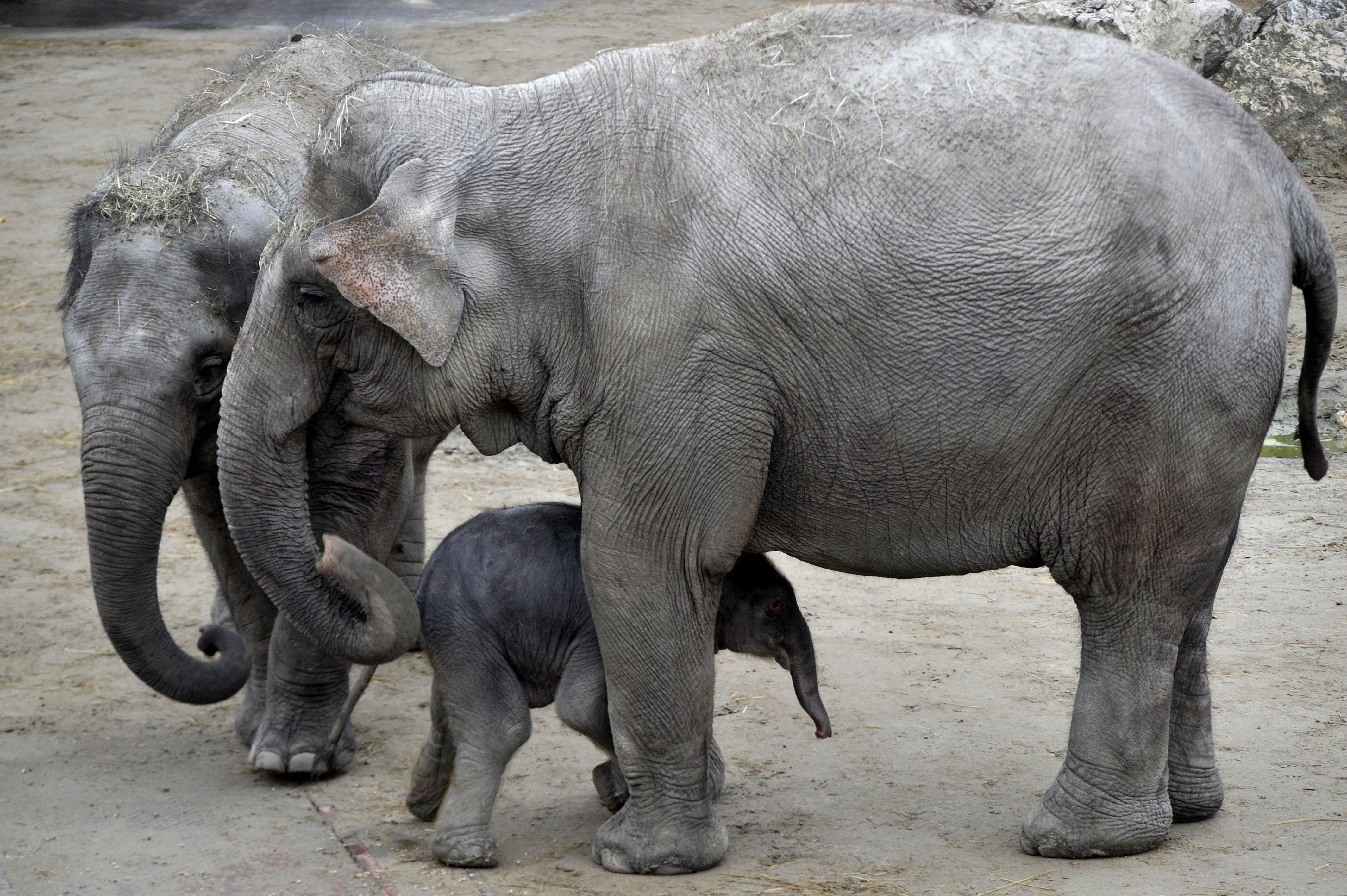 Szombattól meg lehet nézni az újszülött kiselefántot a budapesti állatkertben