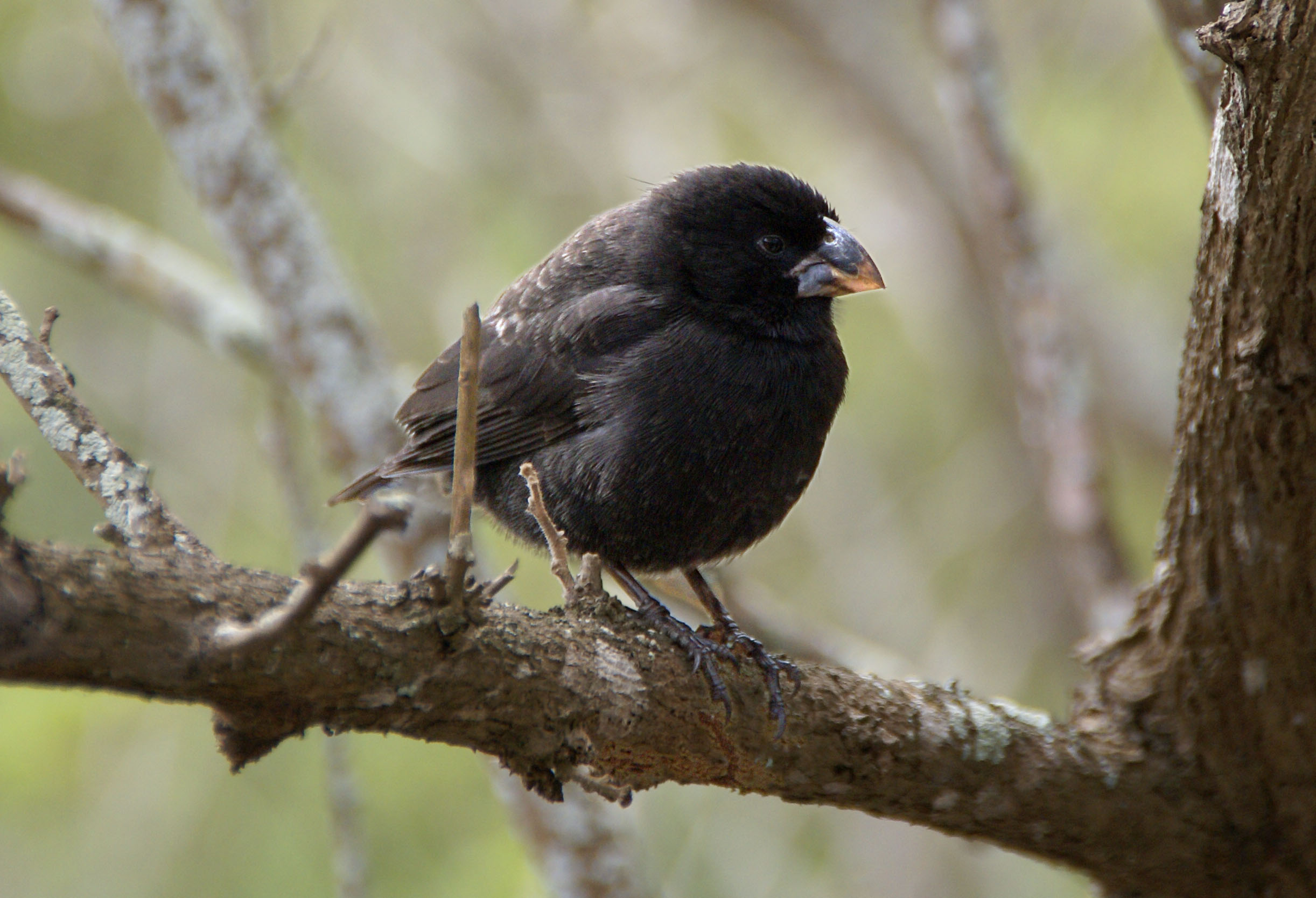 Részeg madarak randalíroznak egy minnesotai városban