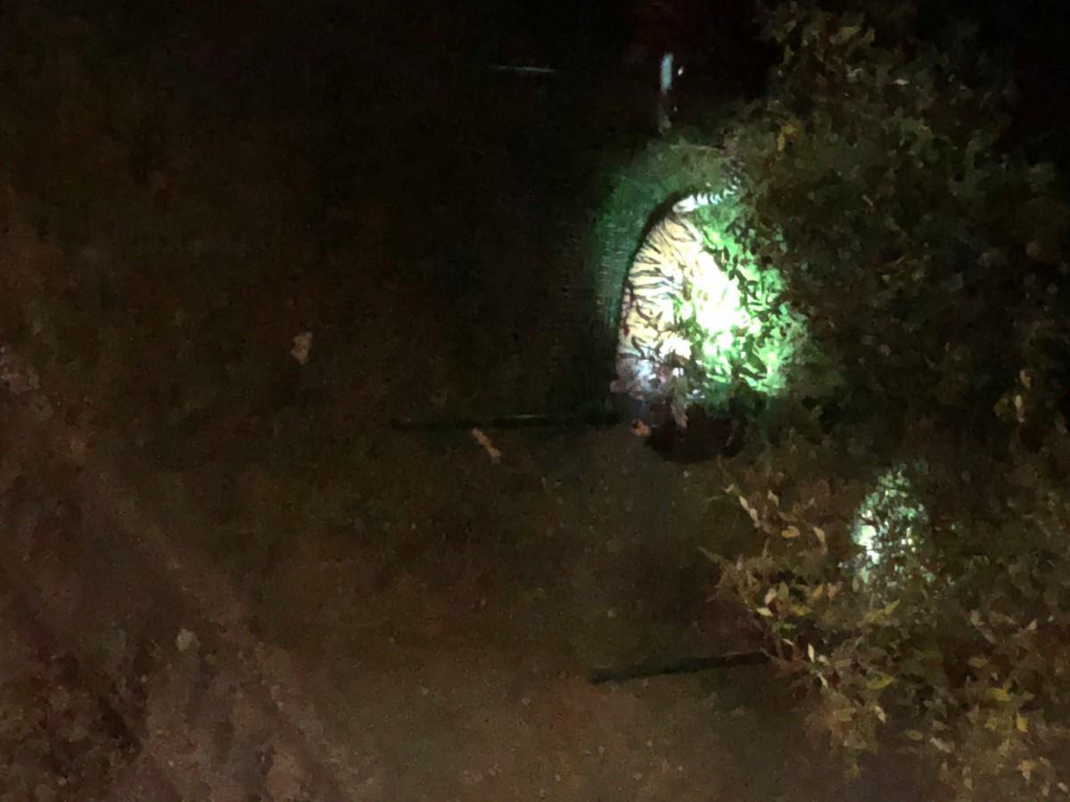 Párizs utcáin csatangolt egy tigris