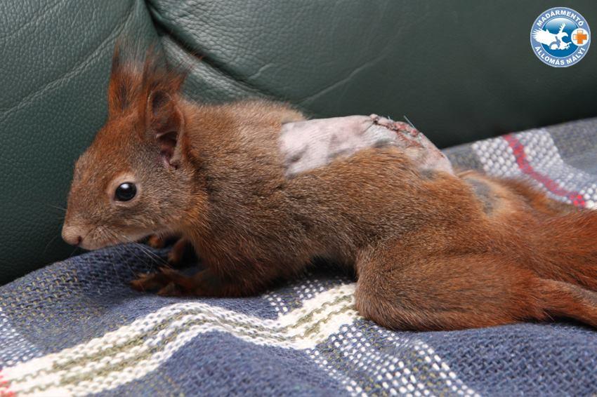 Megműtötték a mókust, aki már MR-vizsgálaton is járt, és gondosabban kezelik, mint a legtöbb magyar embert