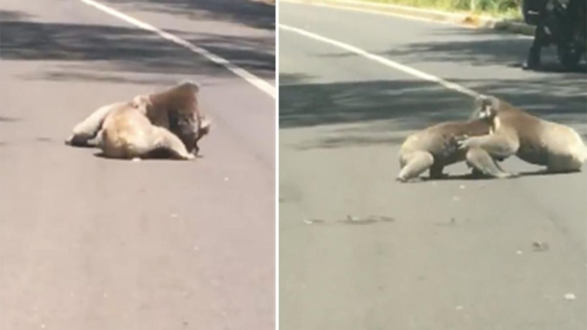 Az út közepén verekedett össze két koala, percekre leállt a forgalom