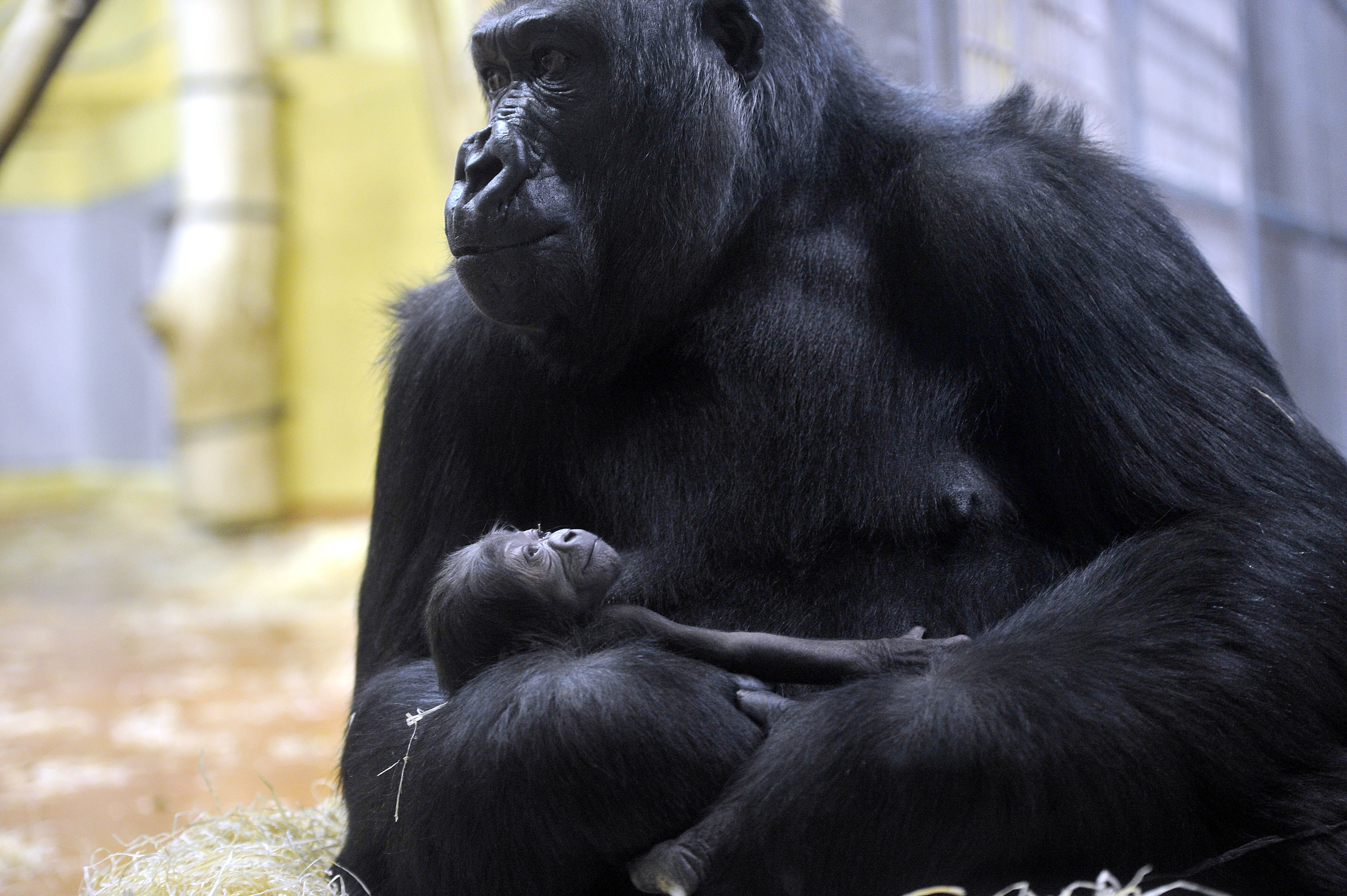 Bezárták az Emberszabású házat, mert a látogatók nem bírtak magukkal, amikor meglátták a karácsonyi gorillakölyköt