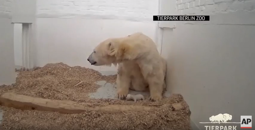 Olyan az újszülött berlini jegesmedvebocs, mint egy szőrös kukac, a hangja meg mint a Sátán által megszállt macskáé