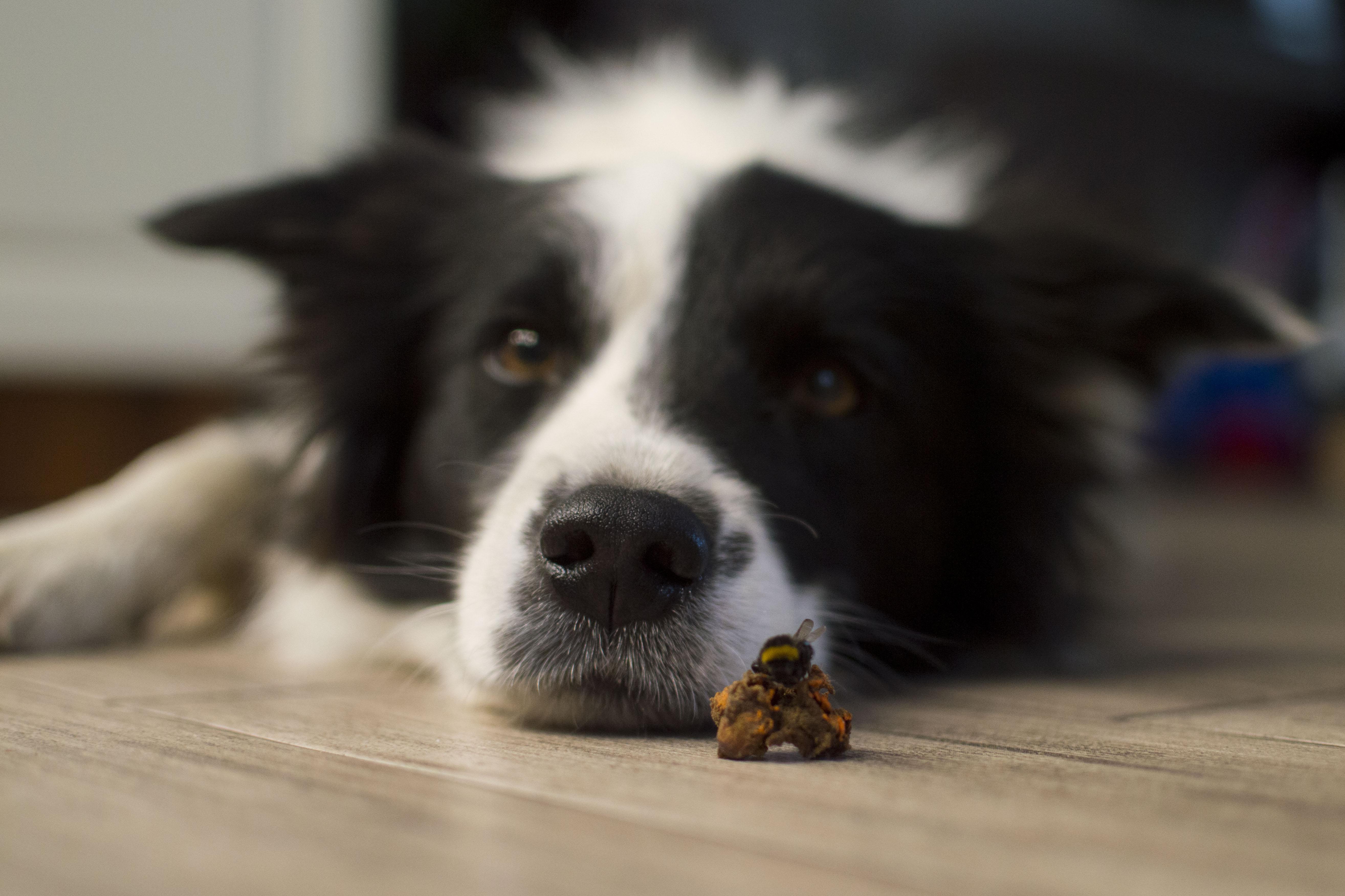 Játékkal tanulnak új szavakat a kutyák - derül ki egy magyar kutatásból
