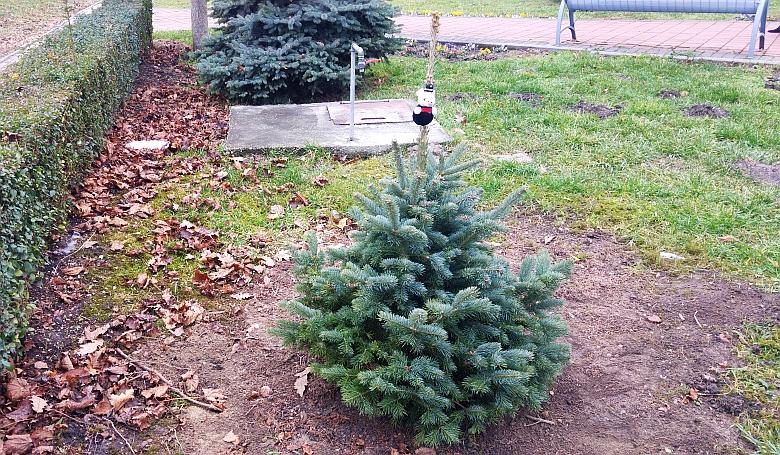 Ilyen is van: valaki új fát ültetett a megcsonkított fenyő helyére