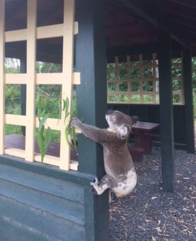 Oszlopra csavaroztak egy koalát egy queenslandi parkban