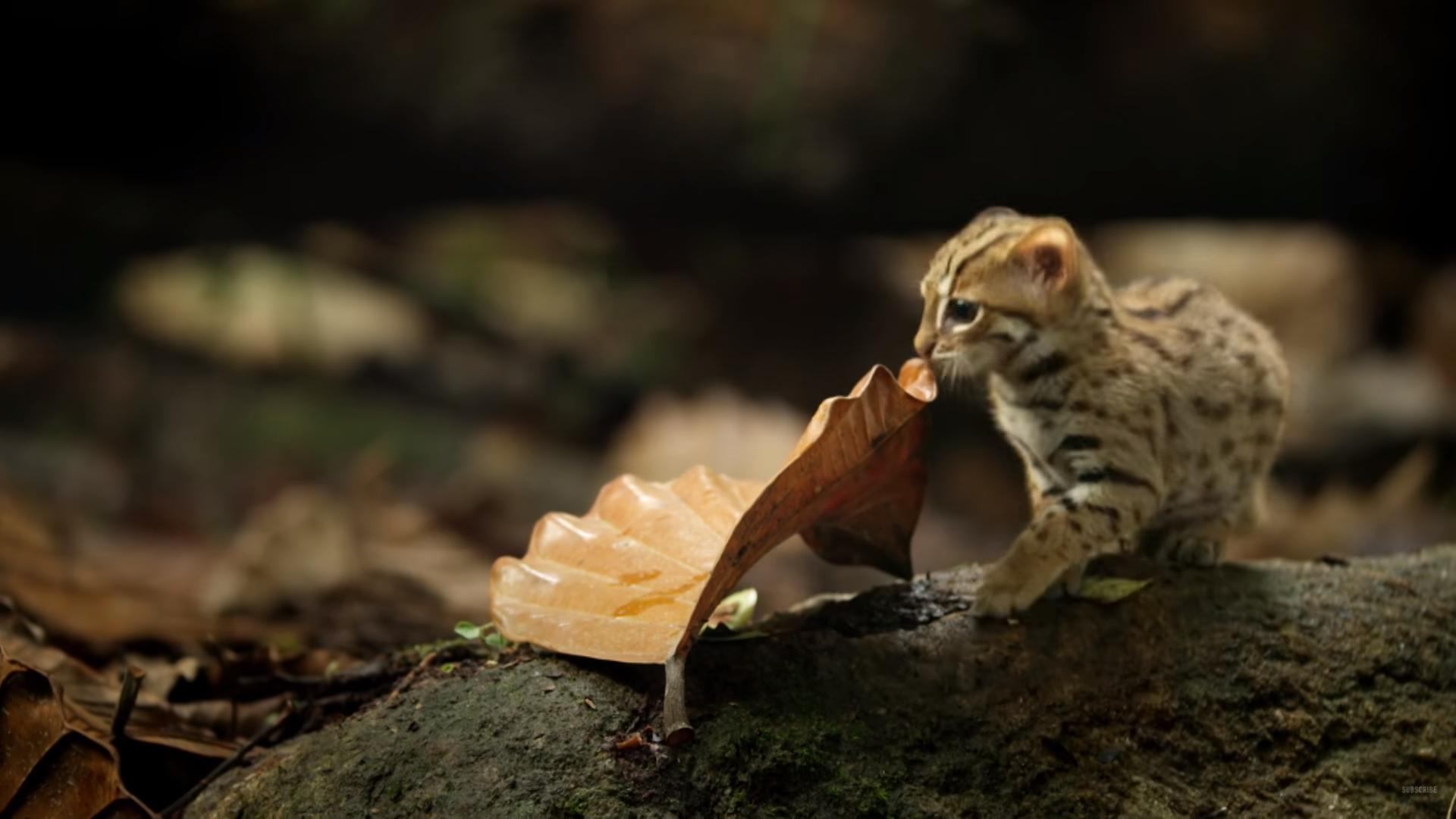 """A világ legkisebb nagymacskája egy nagyon pici cica, amelyik azt mondja, hogy: """"Mik"""""""